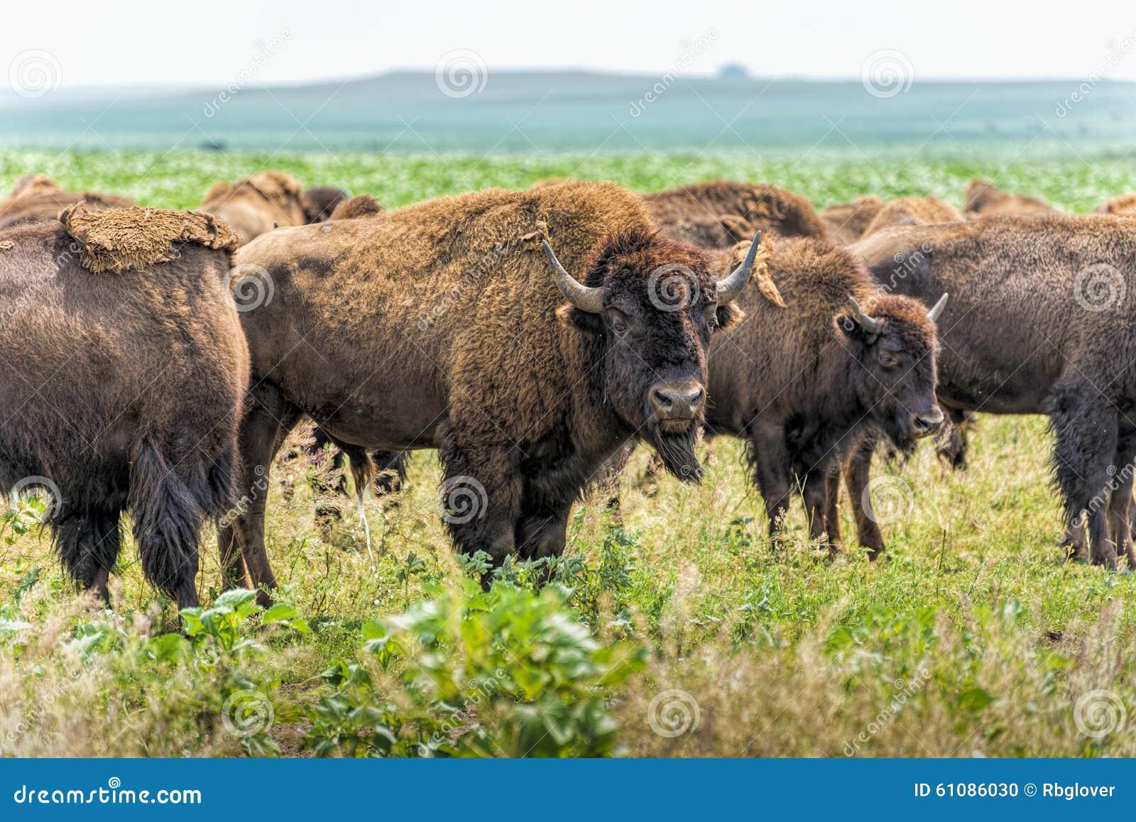 Buffel (bison) som betar på den North Dakota prärien