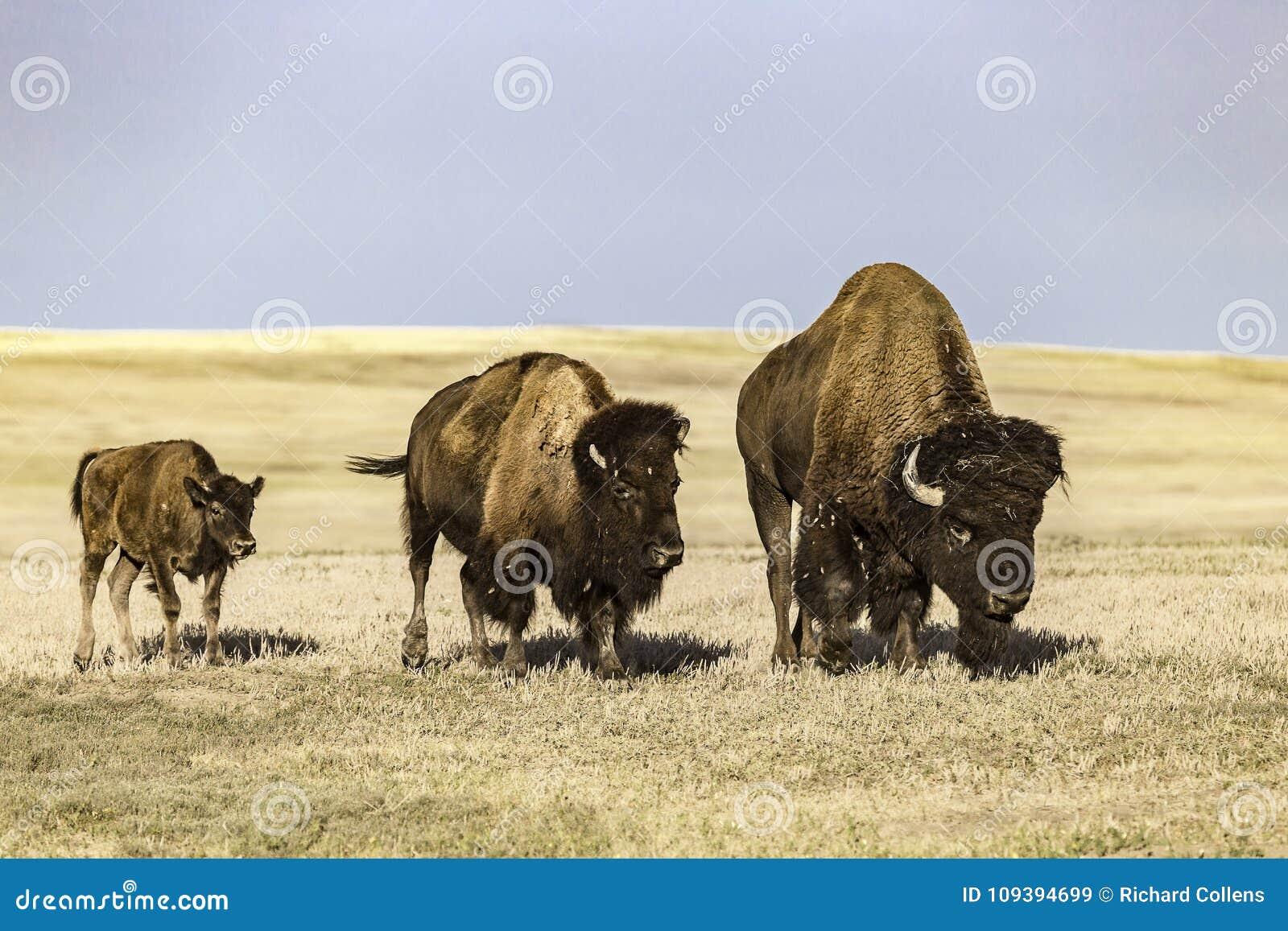 Buffel på Badlandsnationalparken