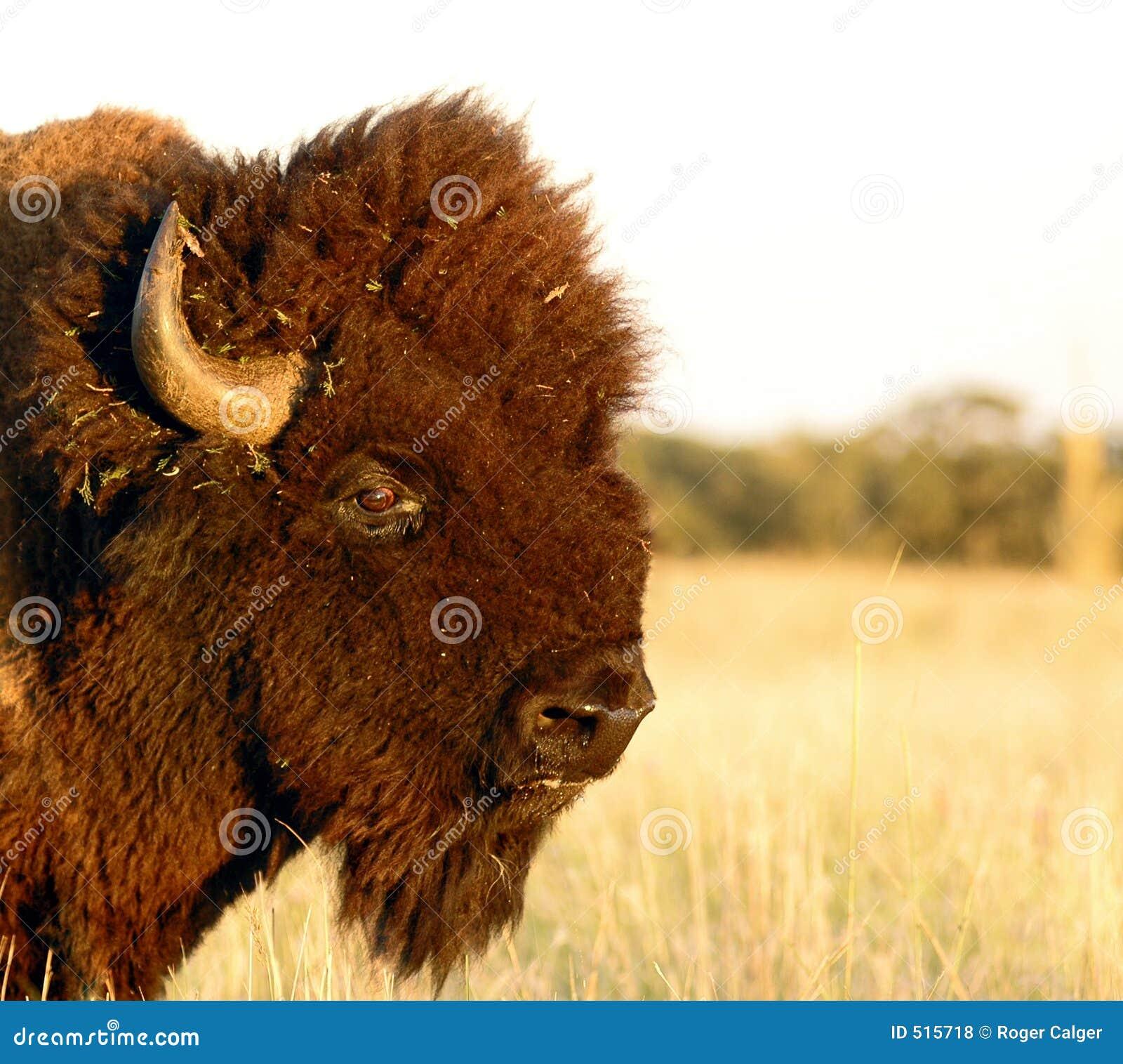 Buffelhuvud