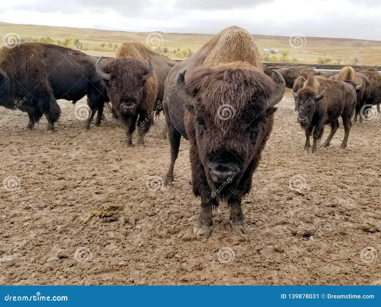 Buffelkörning, Custer, South Dakota