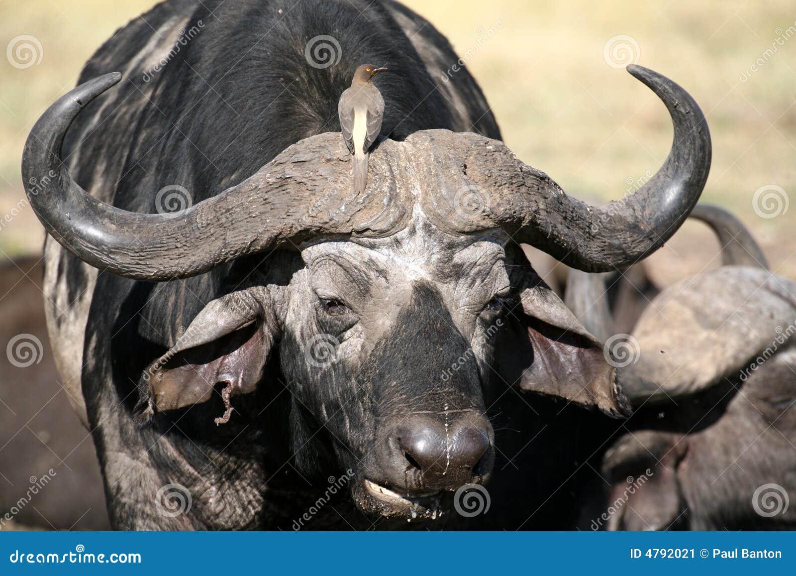 Buffelkenya oxpecker