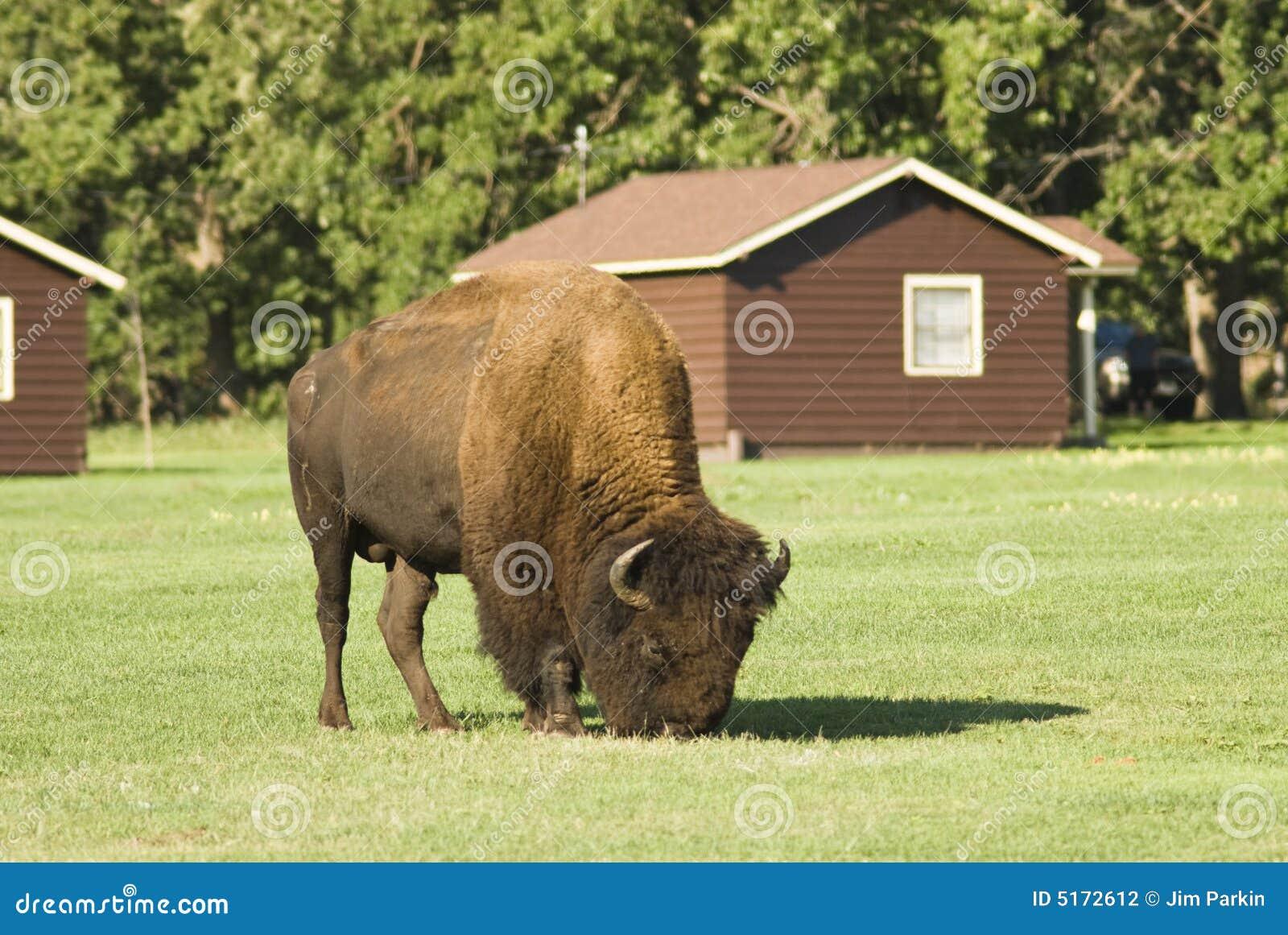 Buffelläger