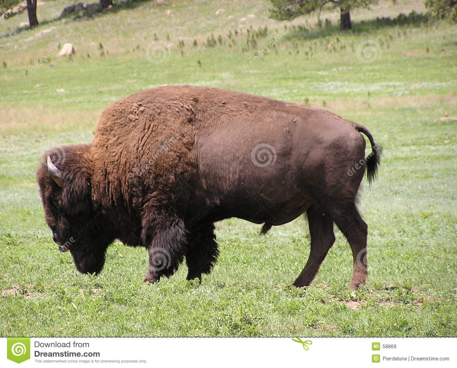 Buffels of bizon