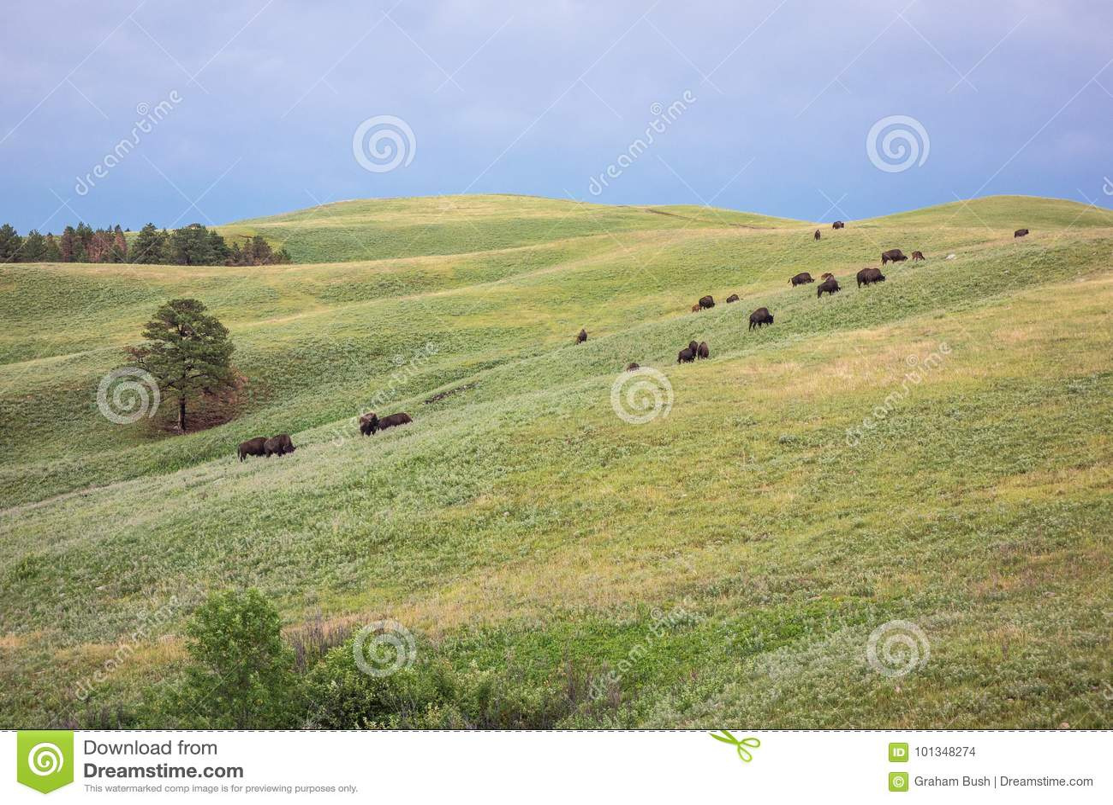 Buffels, Custer State Park, Custer, BR