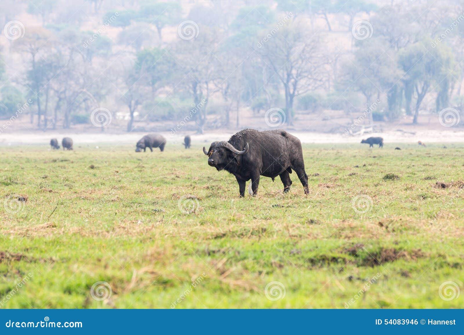 Buffels op een eiland in de Chobe-Rivier