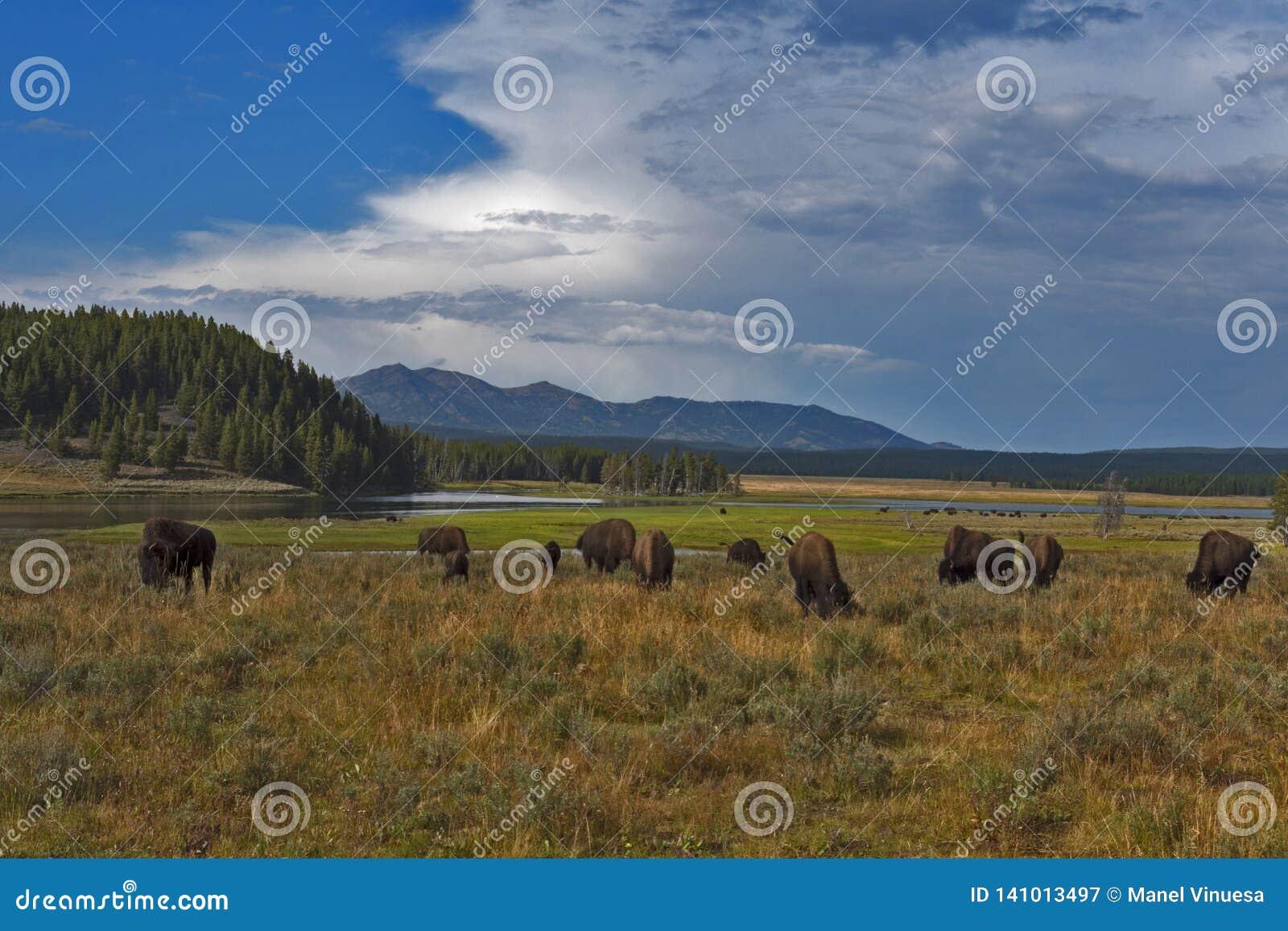 Bufflar som betar på den Yellowstone nationalparken