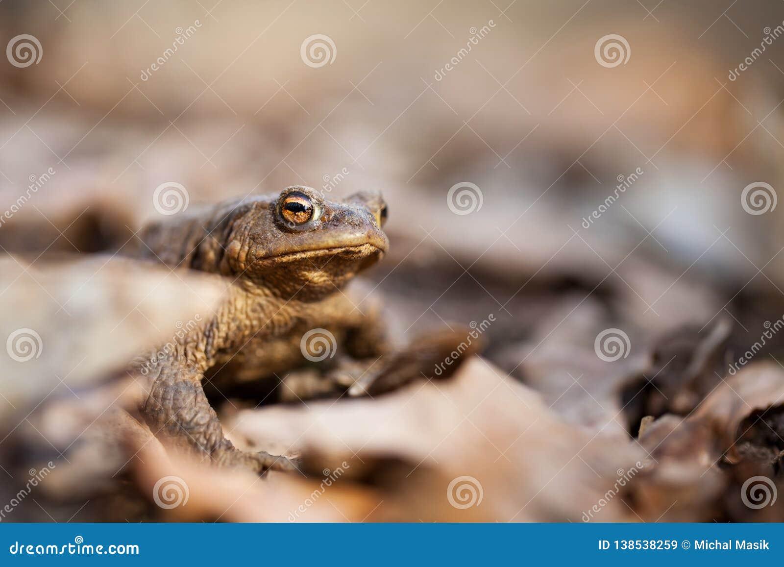 Bufo Bufo древесина песни природы влюбленности grouse одичалая красивейшее изображение Природа чехии Лягушка От жизни лягушки Жив