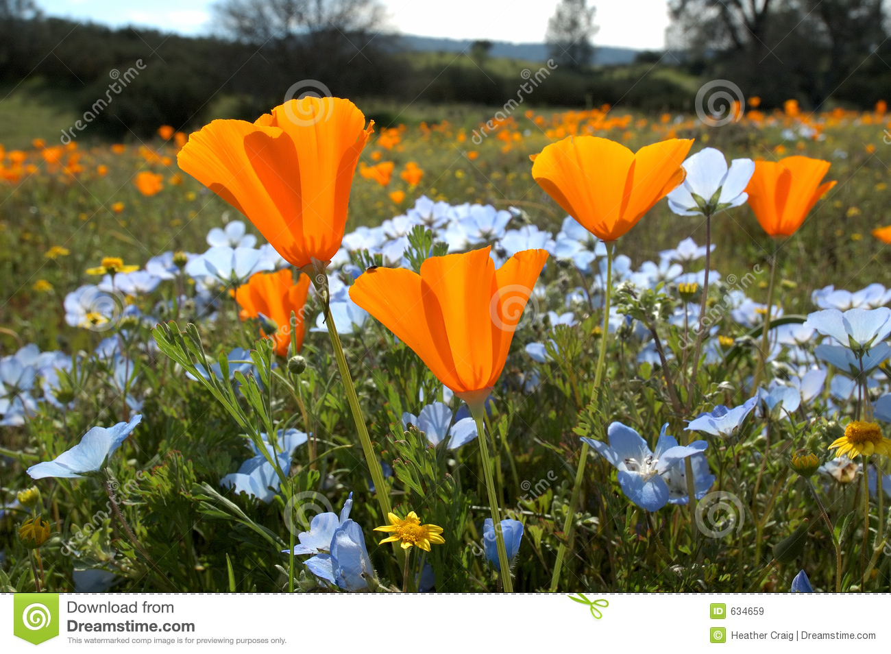 Download Bug's Eye View: California Poppy, Baby Blue Eyes, And Goldfields Stock Image - Image of detail, yellow: 634659