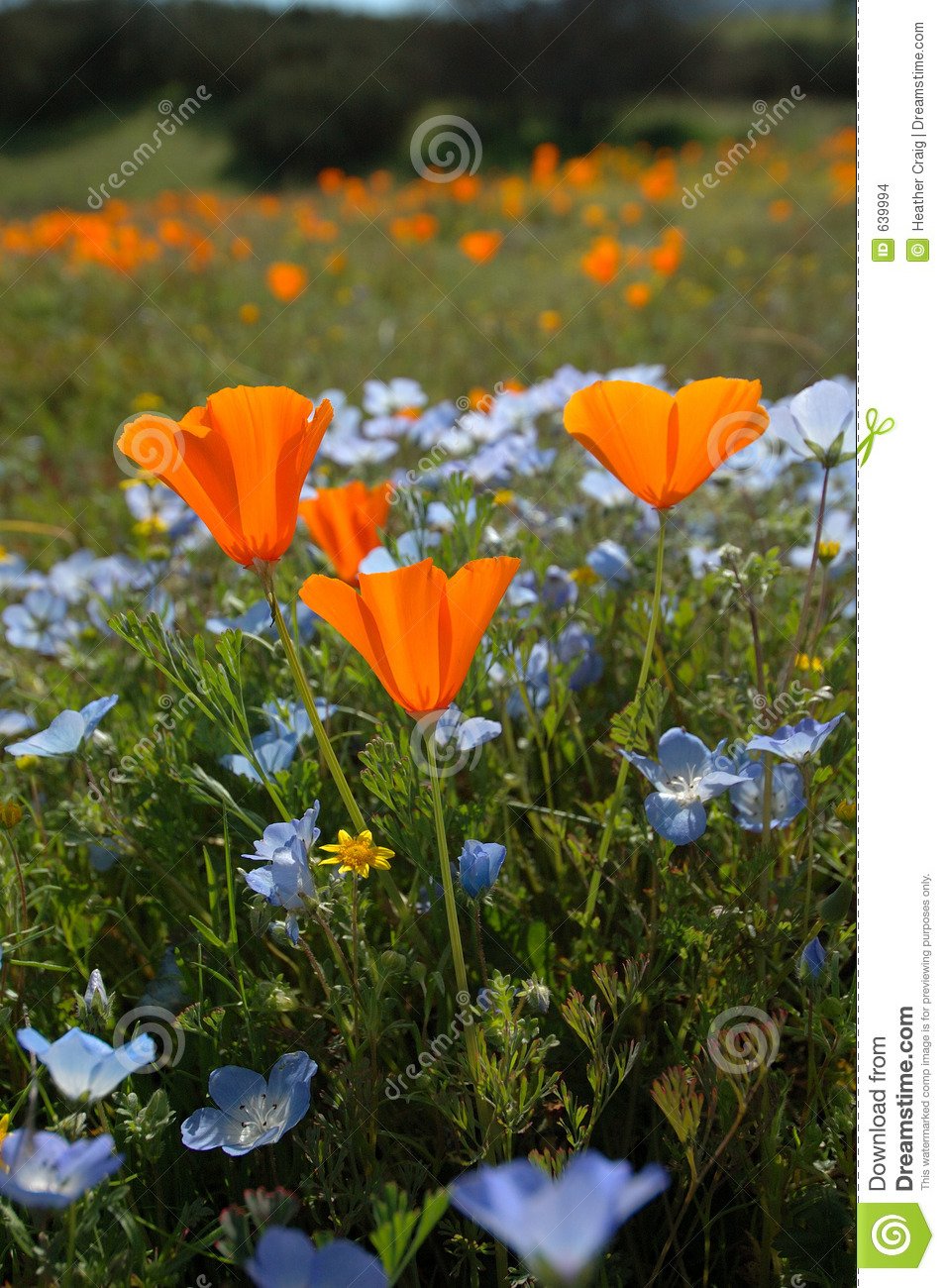 Bug s Eye View Vertical: California Poppy, Baby Blue Eyes, and Goldfields