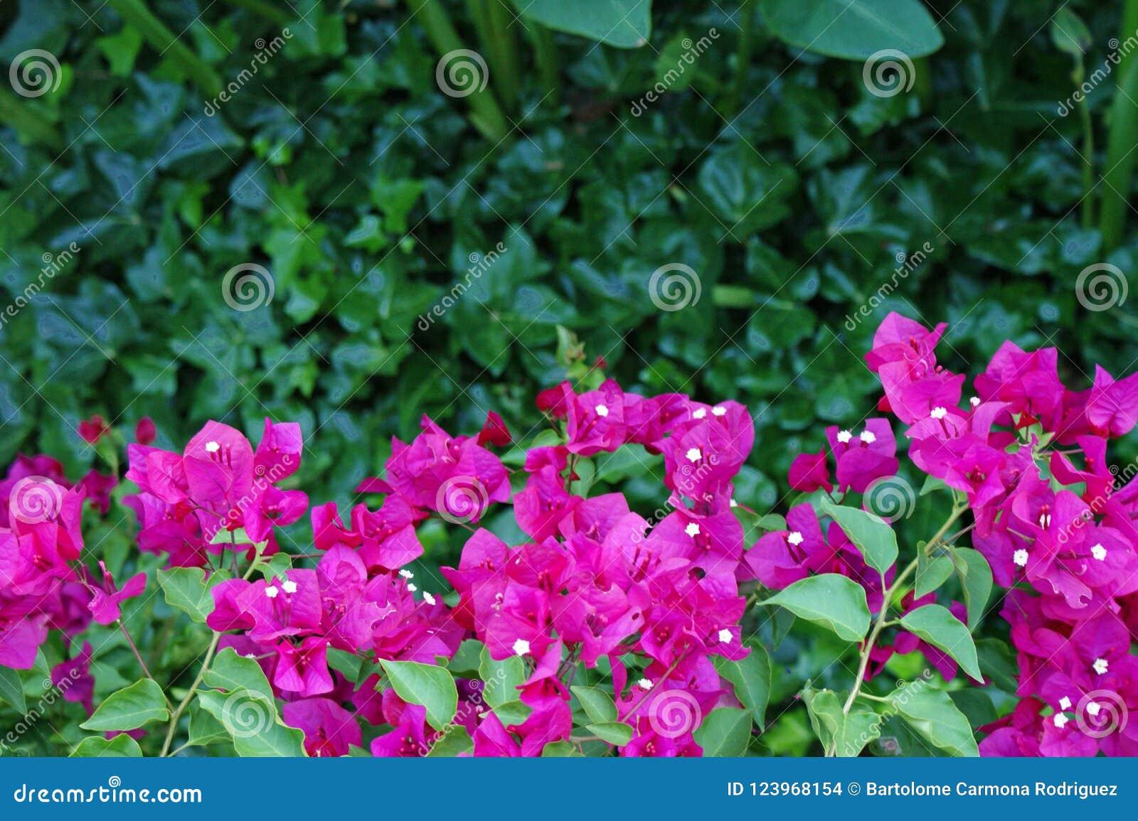 Buganvilla fucsia rosada hermosa entre una verja negra del hierro labrado