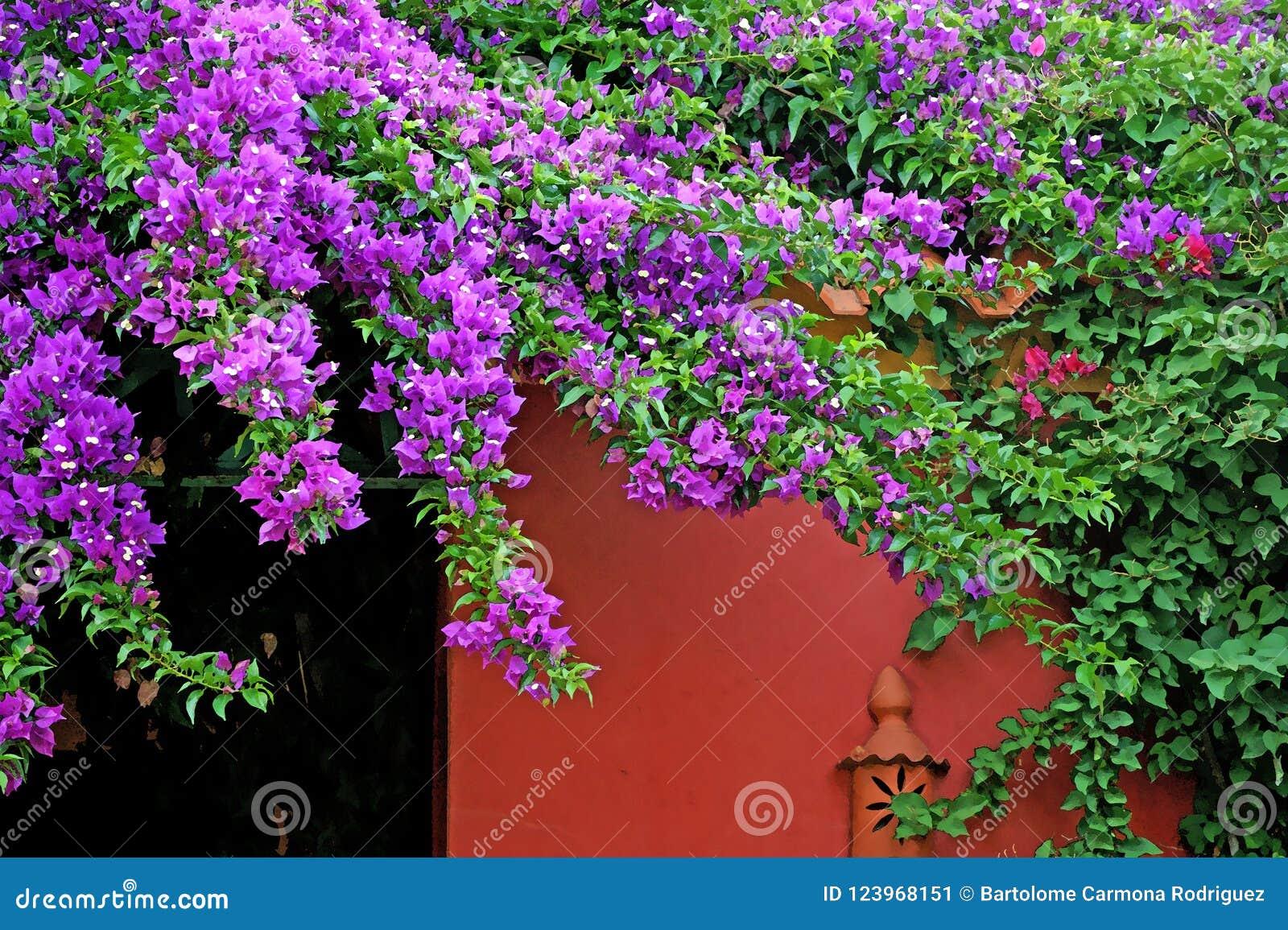 Buganvilla fucsia rosada hermosa y pared roja
