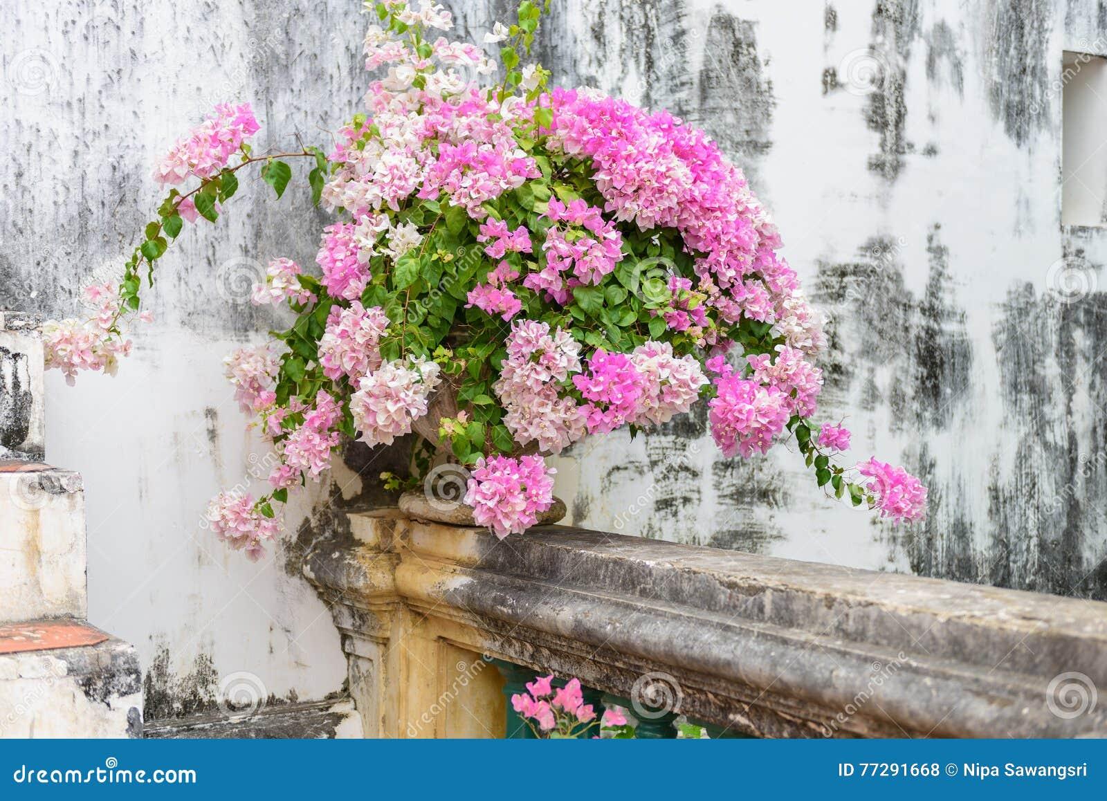 Buganvillea porpora in vaso di fiore d annata del cemento