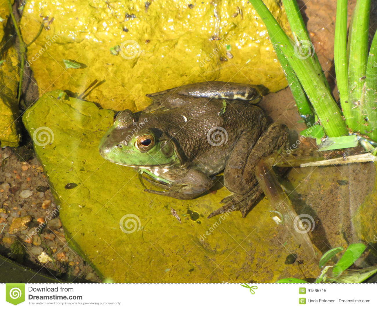 Bugged Eyed Bullfrog