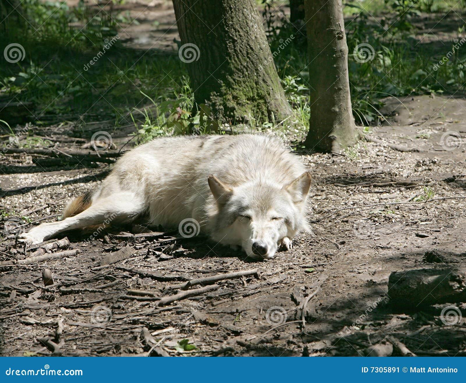 Bugia lasciata dei lupi di sonno