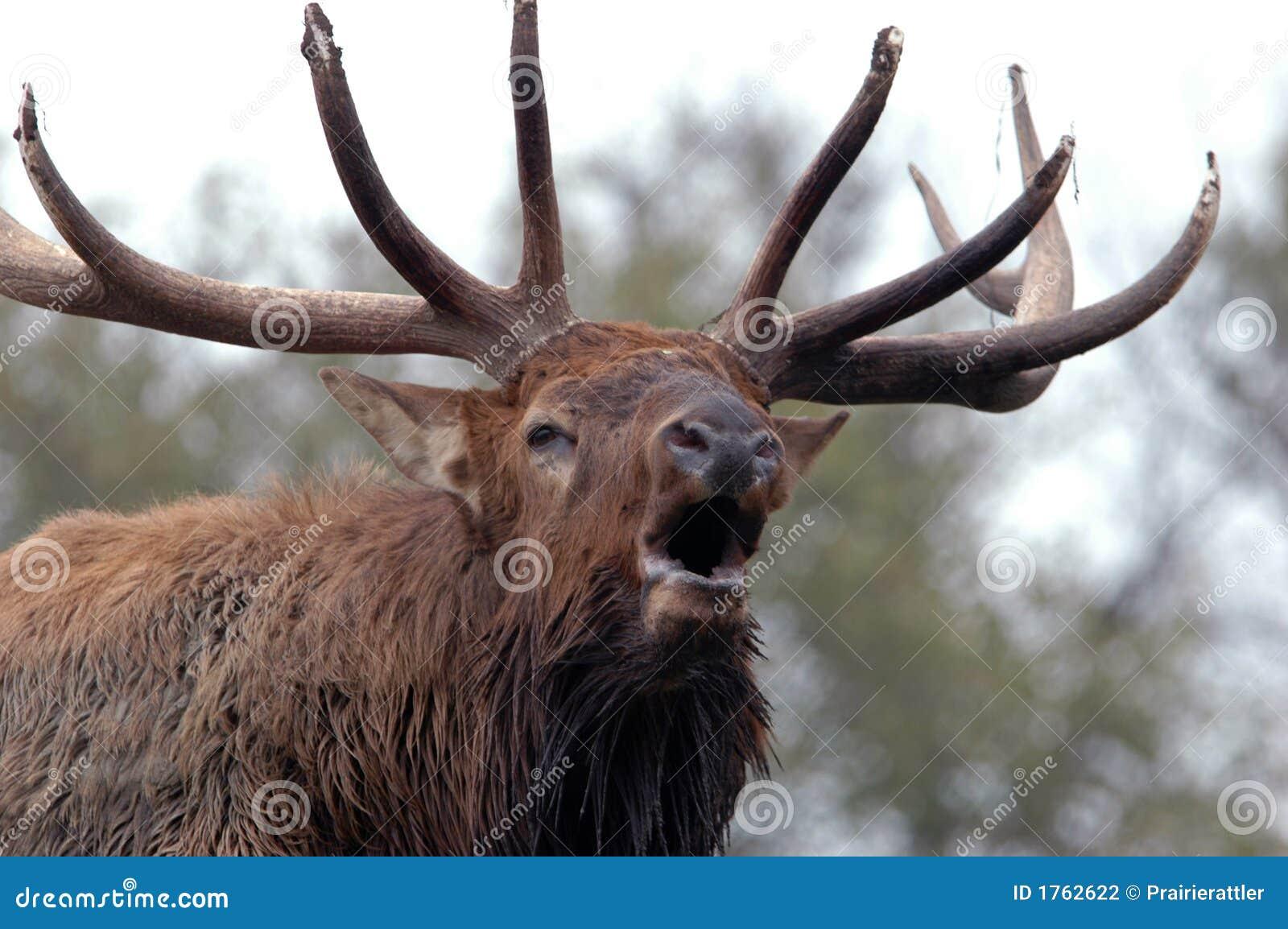 Bugling Elk Close Up