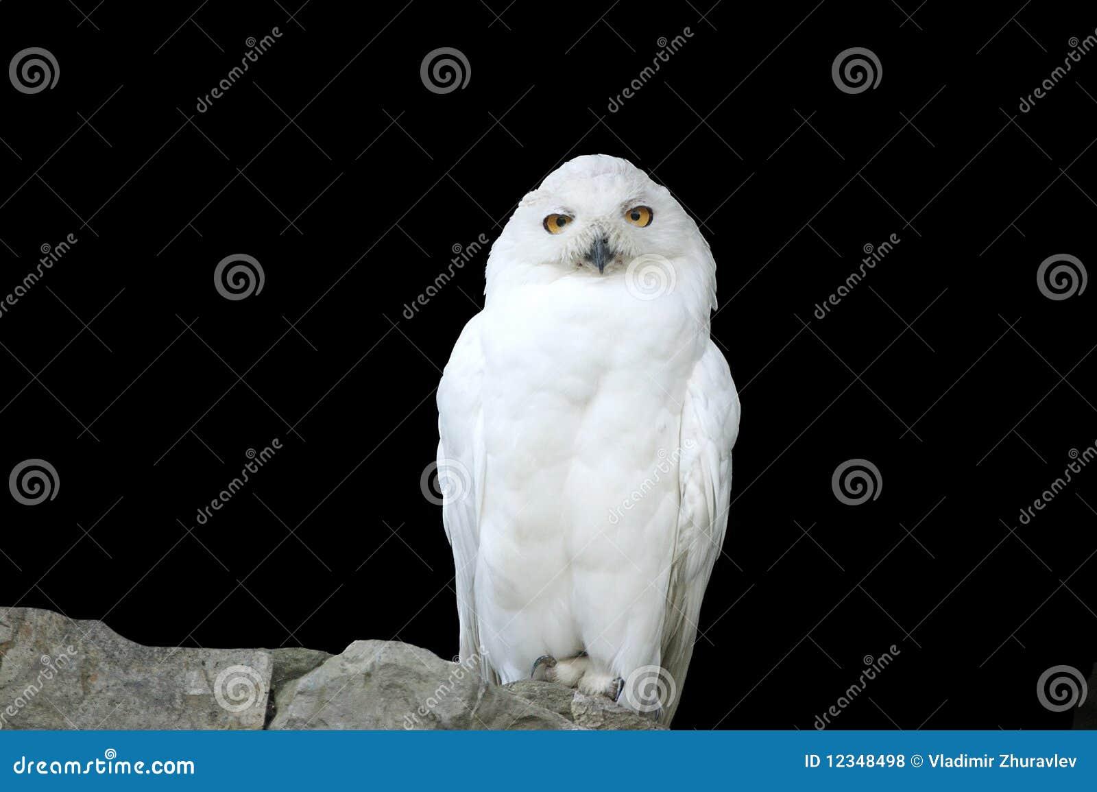Buho (polar) Blanco, Por Separado Fotos De Archivo Libres