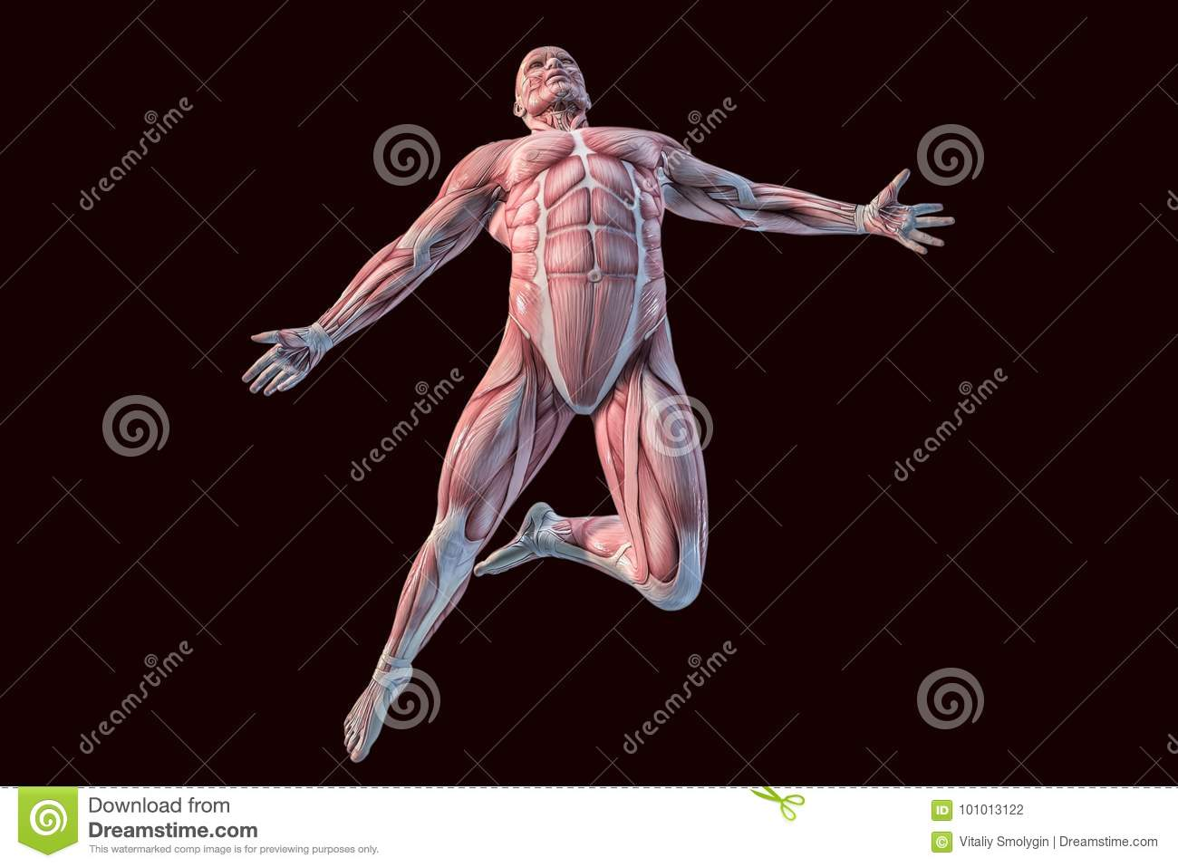 Building Of The Human Muscular System In 3d Stock Illustration