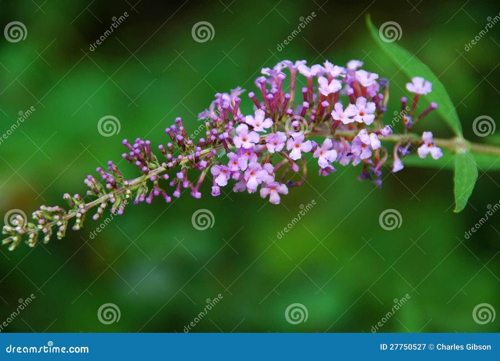 Buisson de guindineau (davidii de Buddleia)