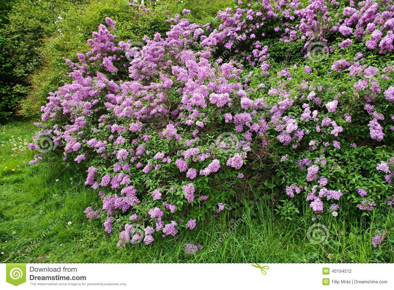 Buisson lilas photo stock image 40194512 for Arbre buisson pour jardin