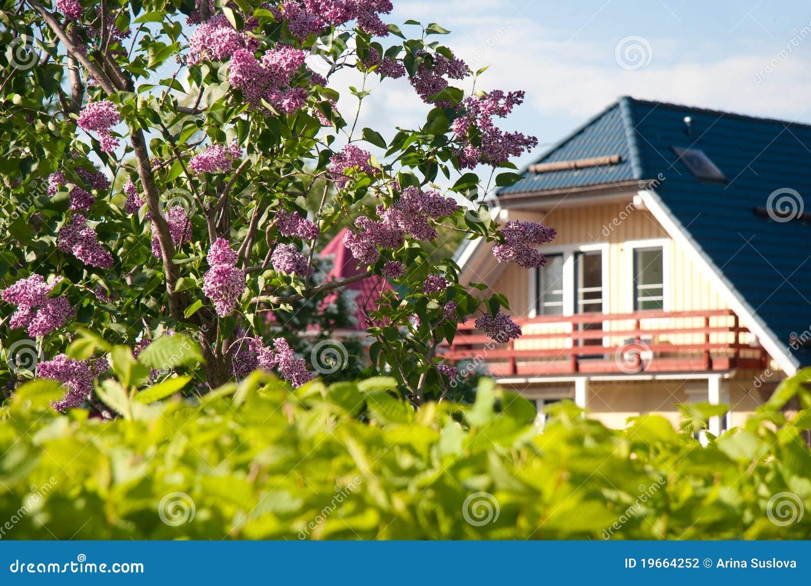 Buisson lilas près à la maison