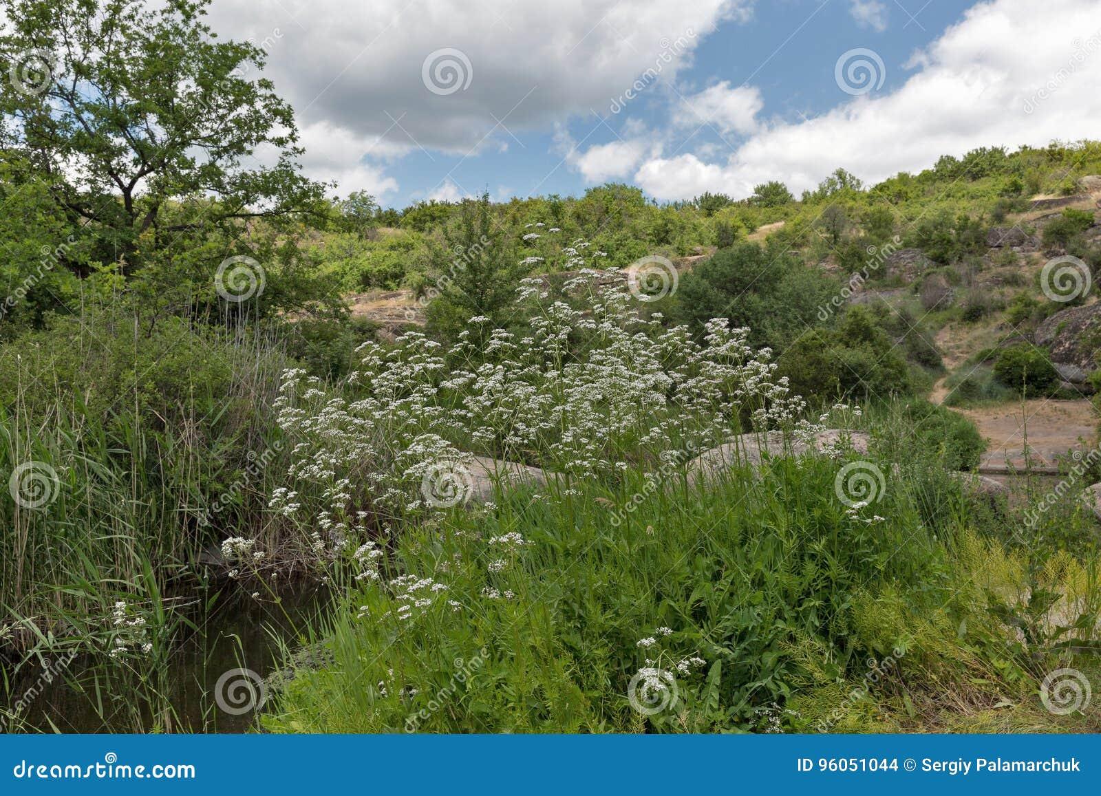 Buisson médicinal de valériane d herbe s élevant en canyon d Arbuzynka