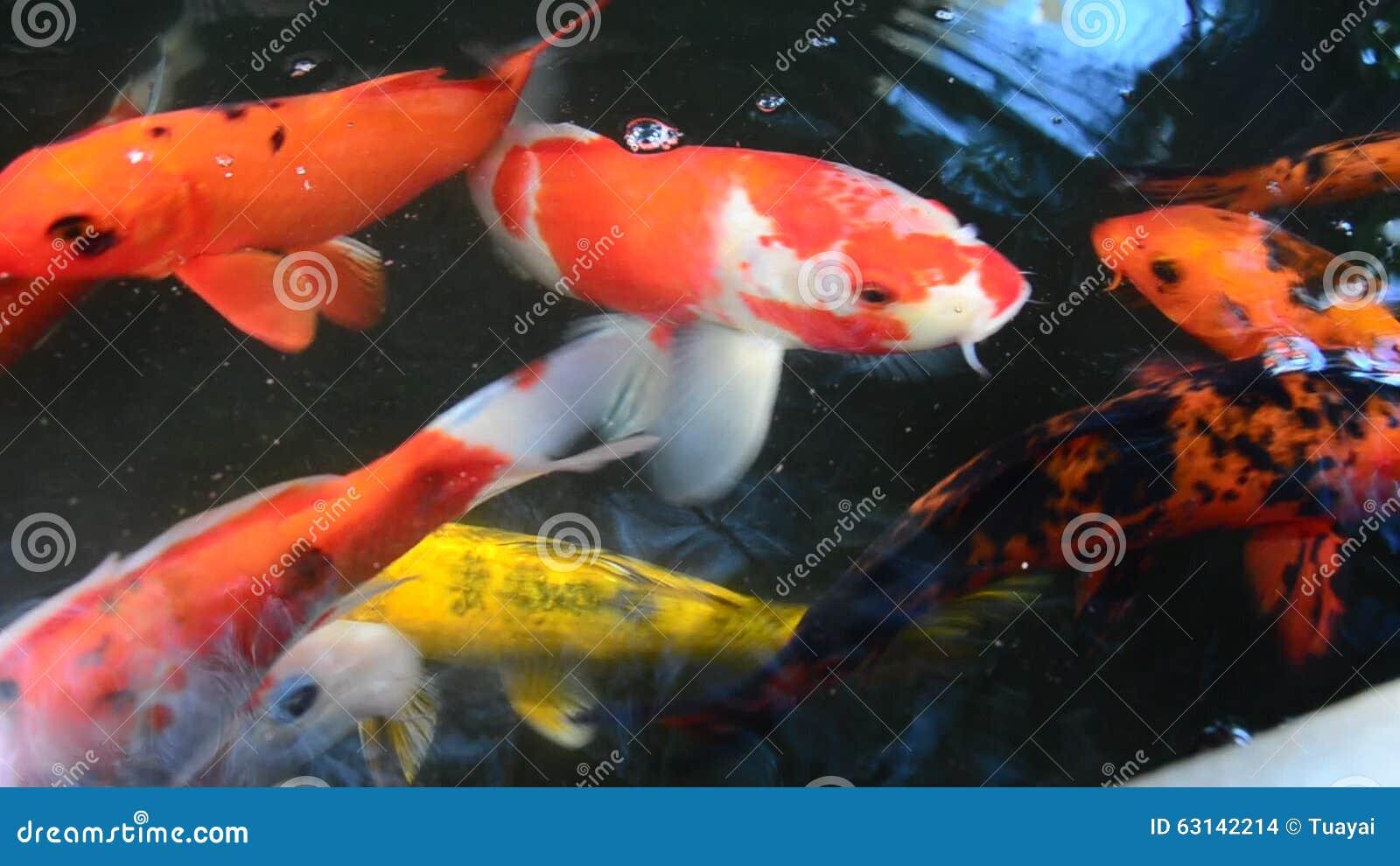 Karpers In Tuin : Buitensporige karper of koi vissen die bij vijver in de tuin zwemmen