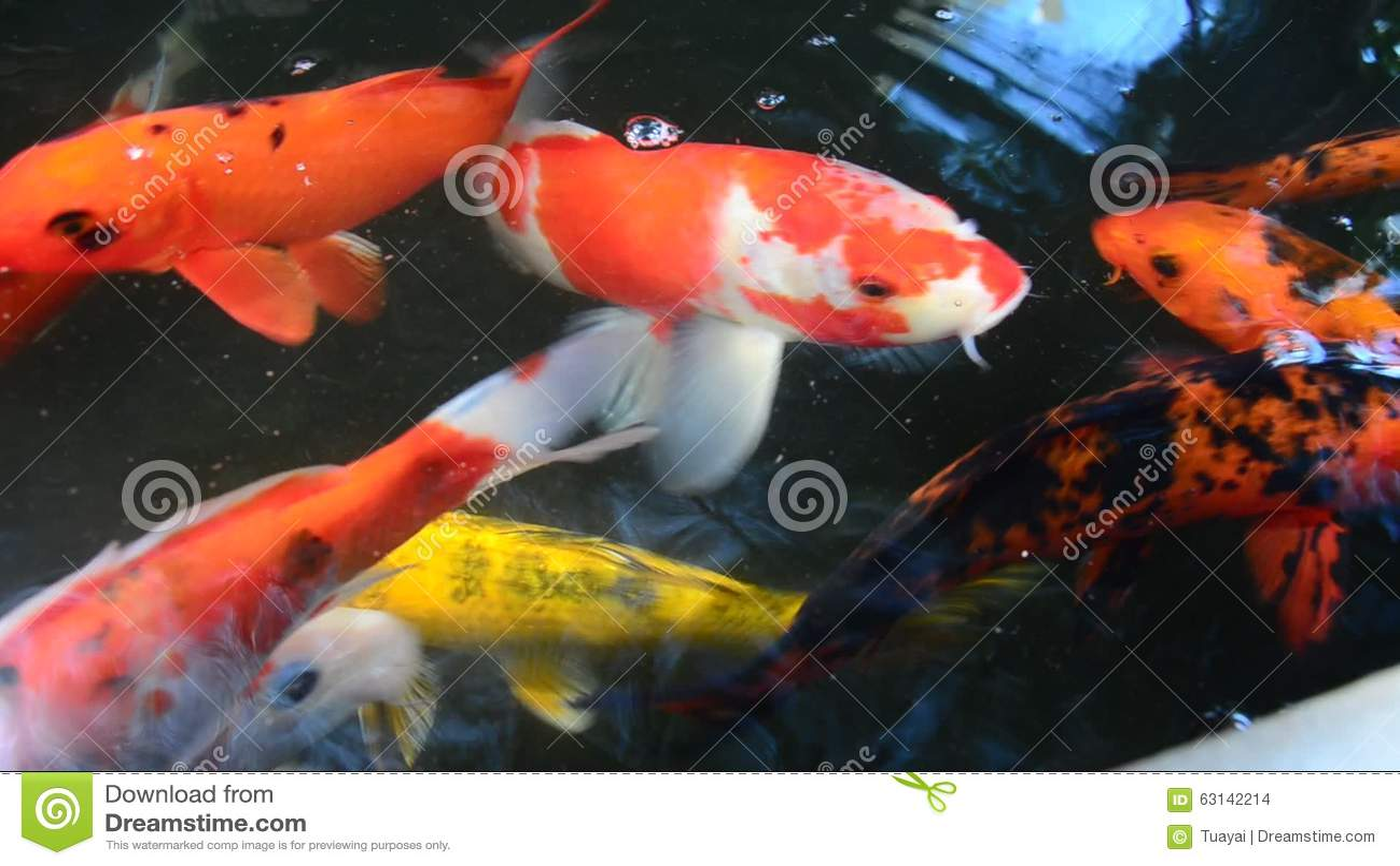 Karpers In Tuin : Buitensporige karper of koi vissen die bij vijver in de tuin