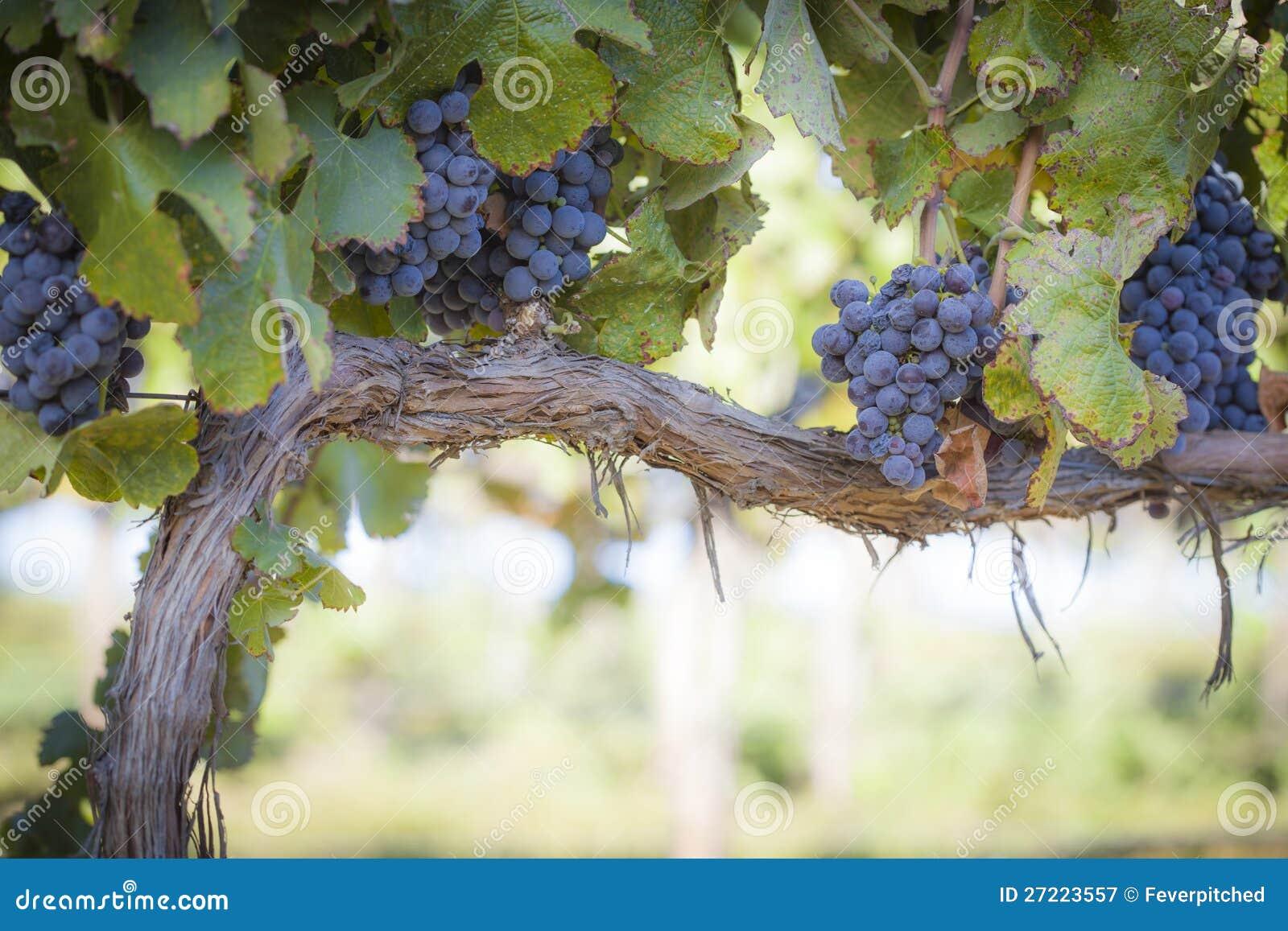 Bujny, na Winogradzie Win Dojrzali Winogrona