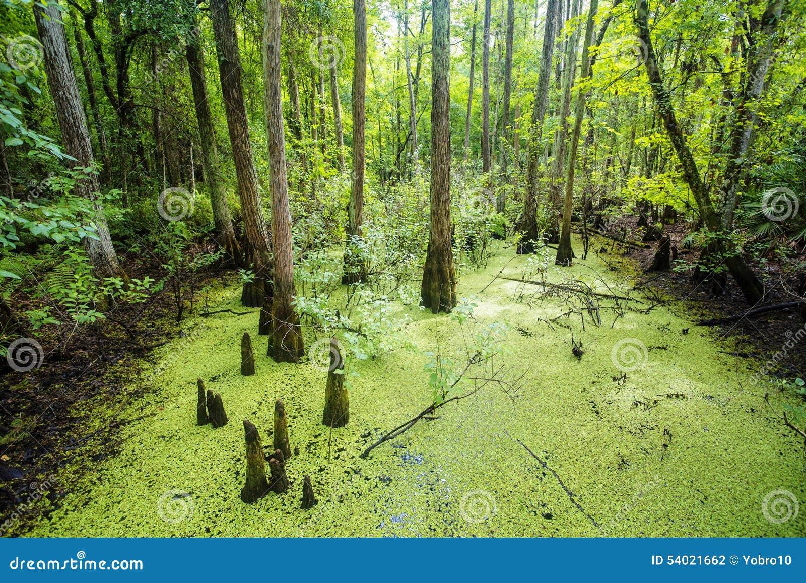 Bujny zieleni bagno i tropikalna lasowa scena
