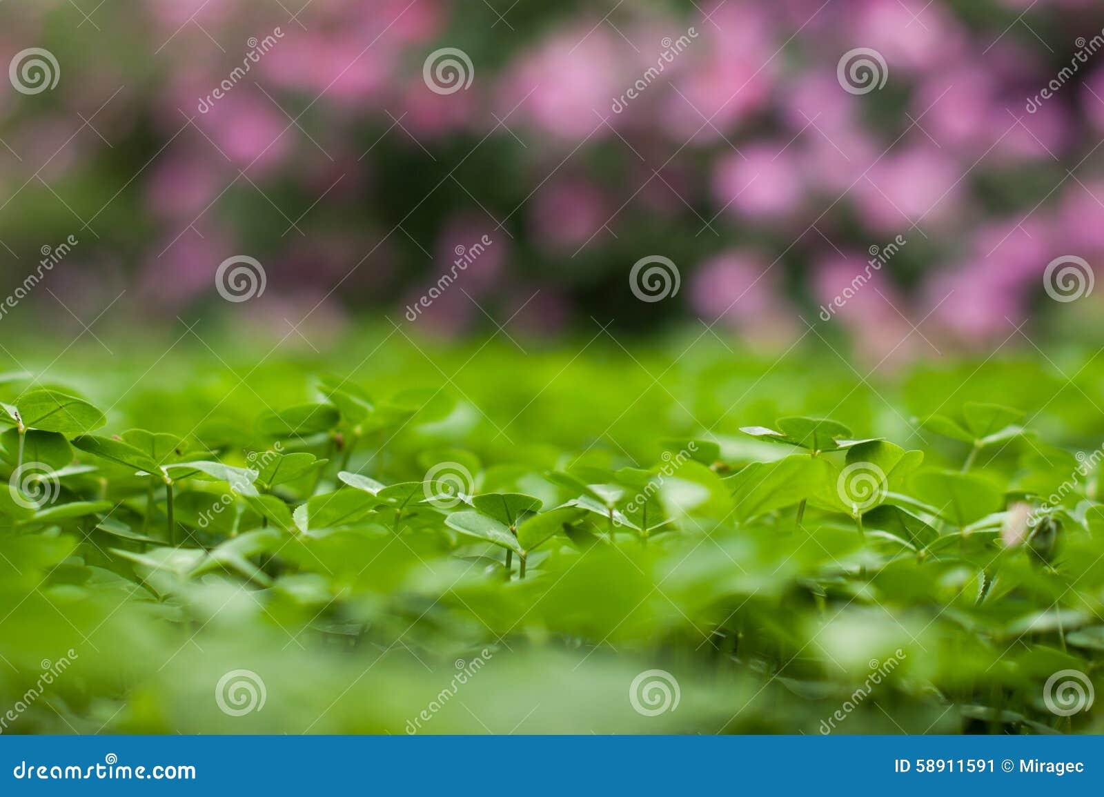 Bujny zielony dywan koniczyny zakończenie up