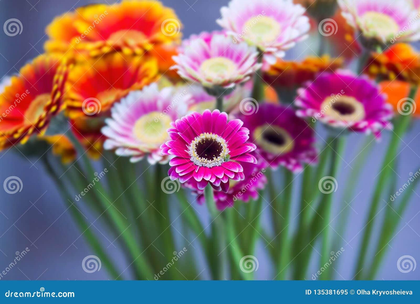 Bukett för tusenskönablommagerbera på blå bakgrund Härlig bukett av rosa, apelsin, purpurfärgade blommor Selektivt fokusera