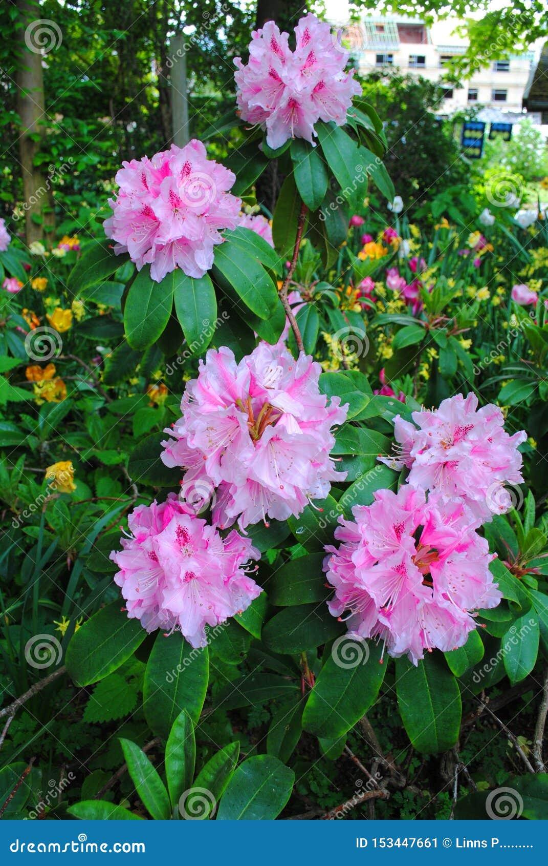 Bukiet menchie pączkuje na kwiatu przedstawieniu