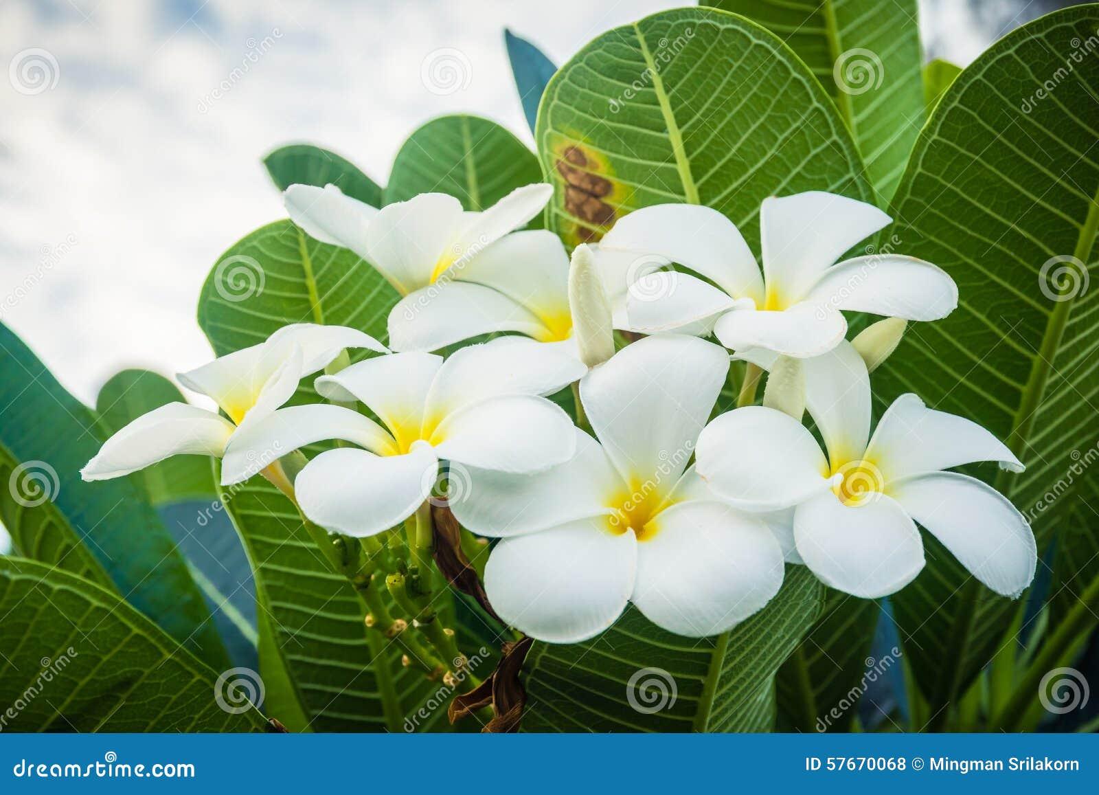 Bukiet plumeria kwitnie na drzewach (frangipani)