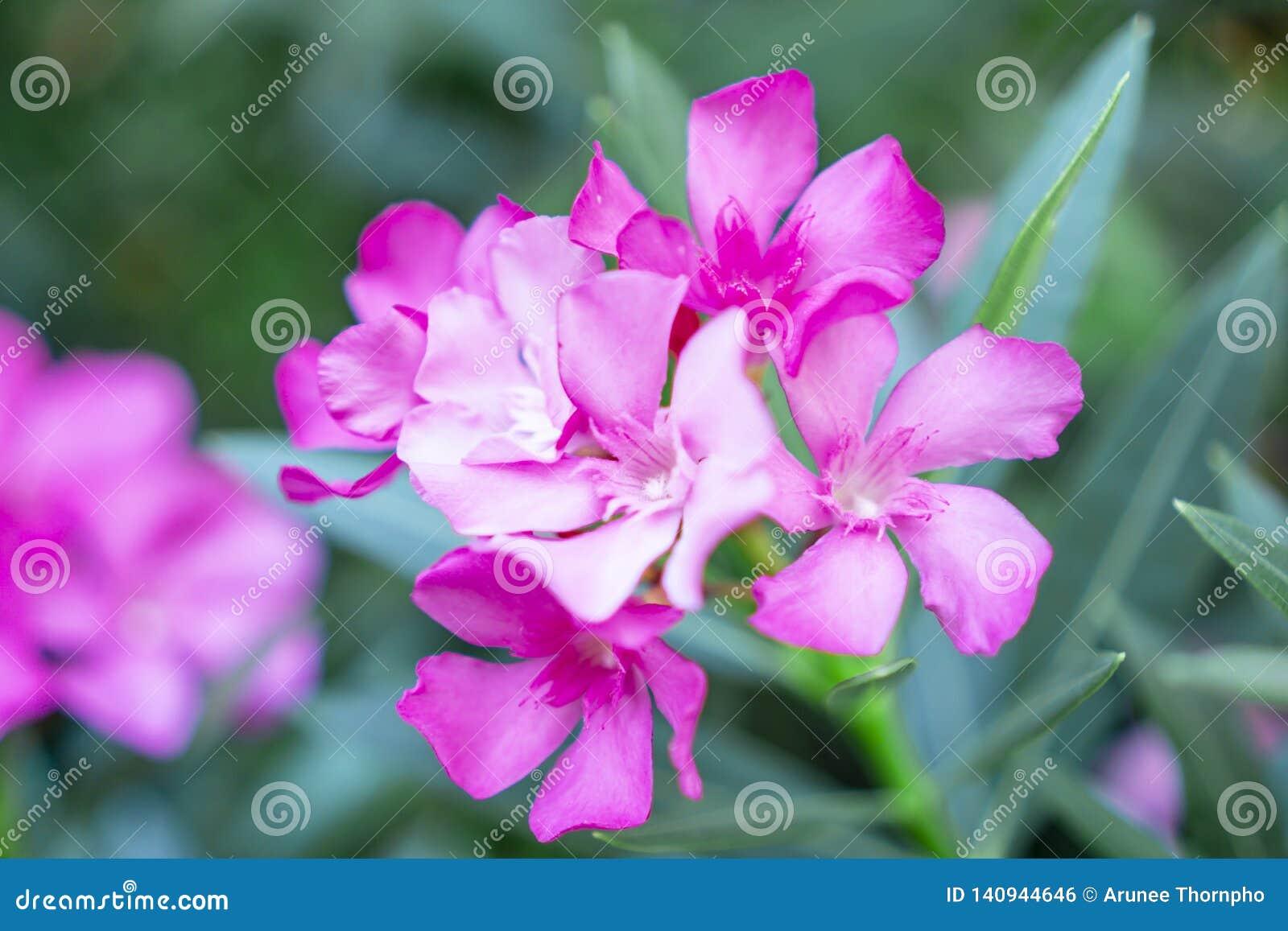 Bukiet uroczy różowi płatki fragrant Słodka oleanderu lub róży zatoka, kwitnący na zielonych liściach i rozmytym tle