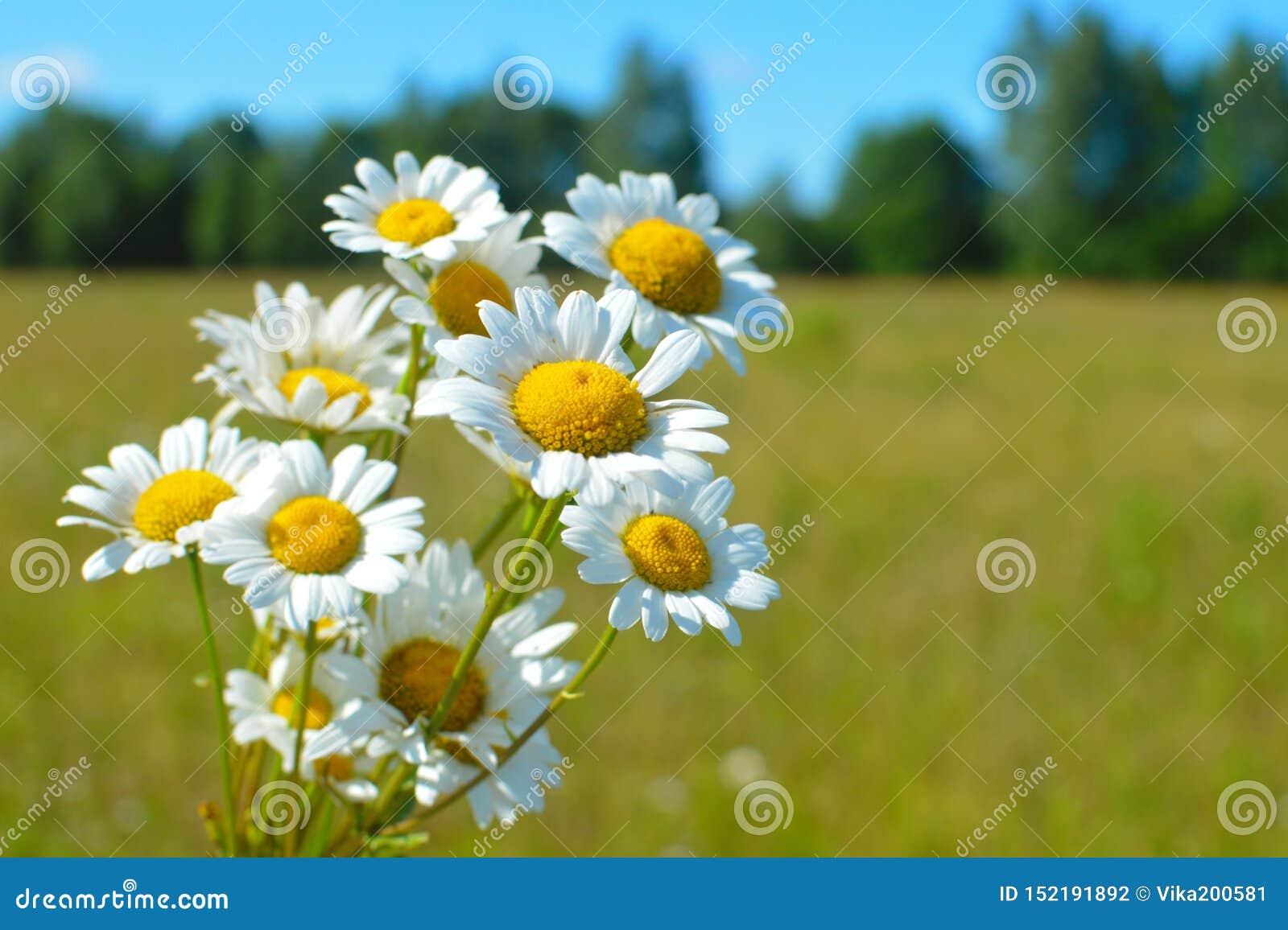 Bukieta biali dzicy rumianki przeciw tłu niebieskie niebo