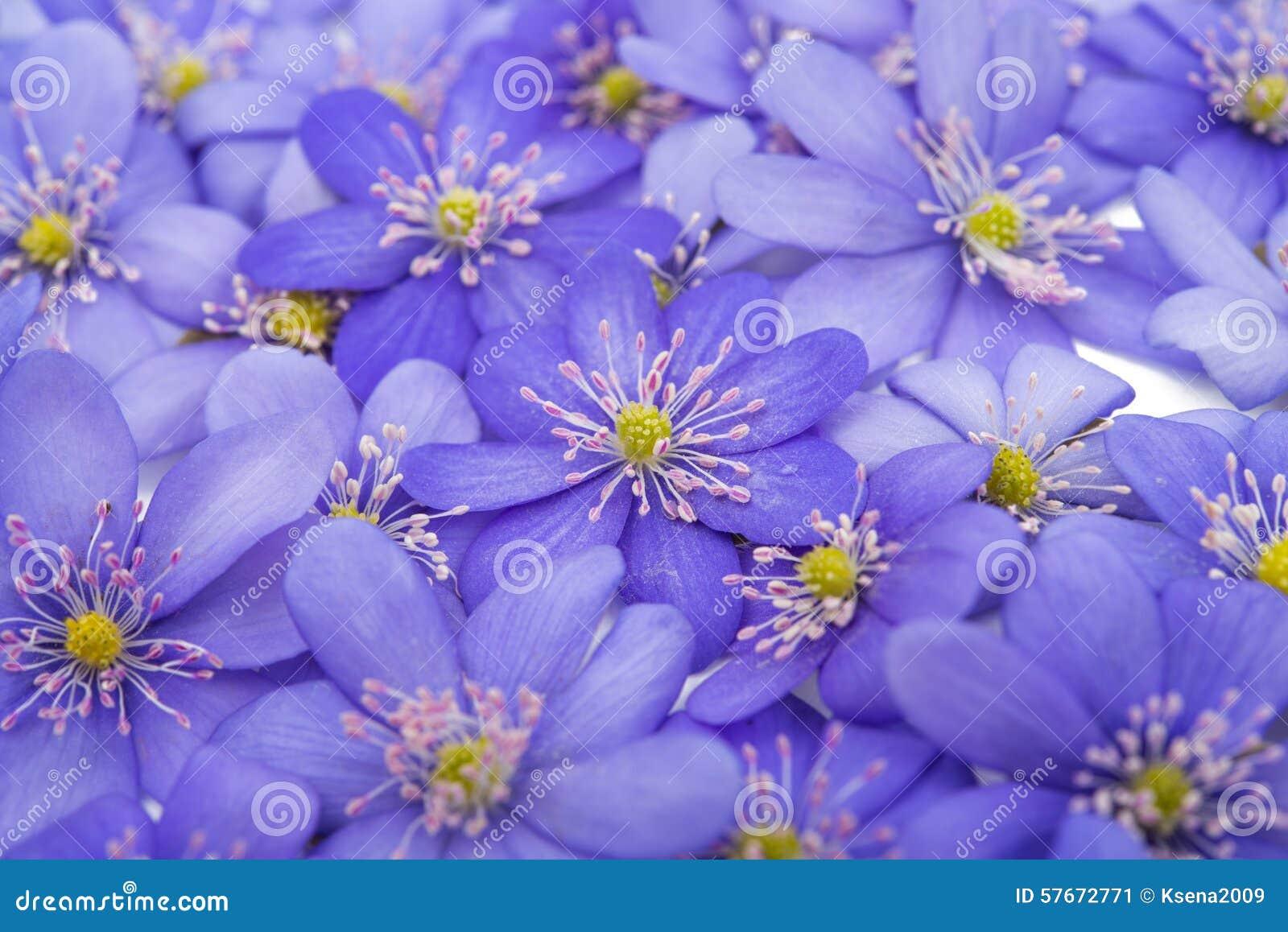 Bukowa lasowa hepatica nobilis Poland wiosna brać