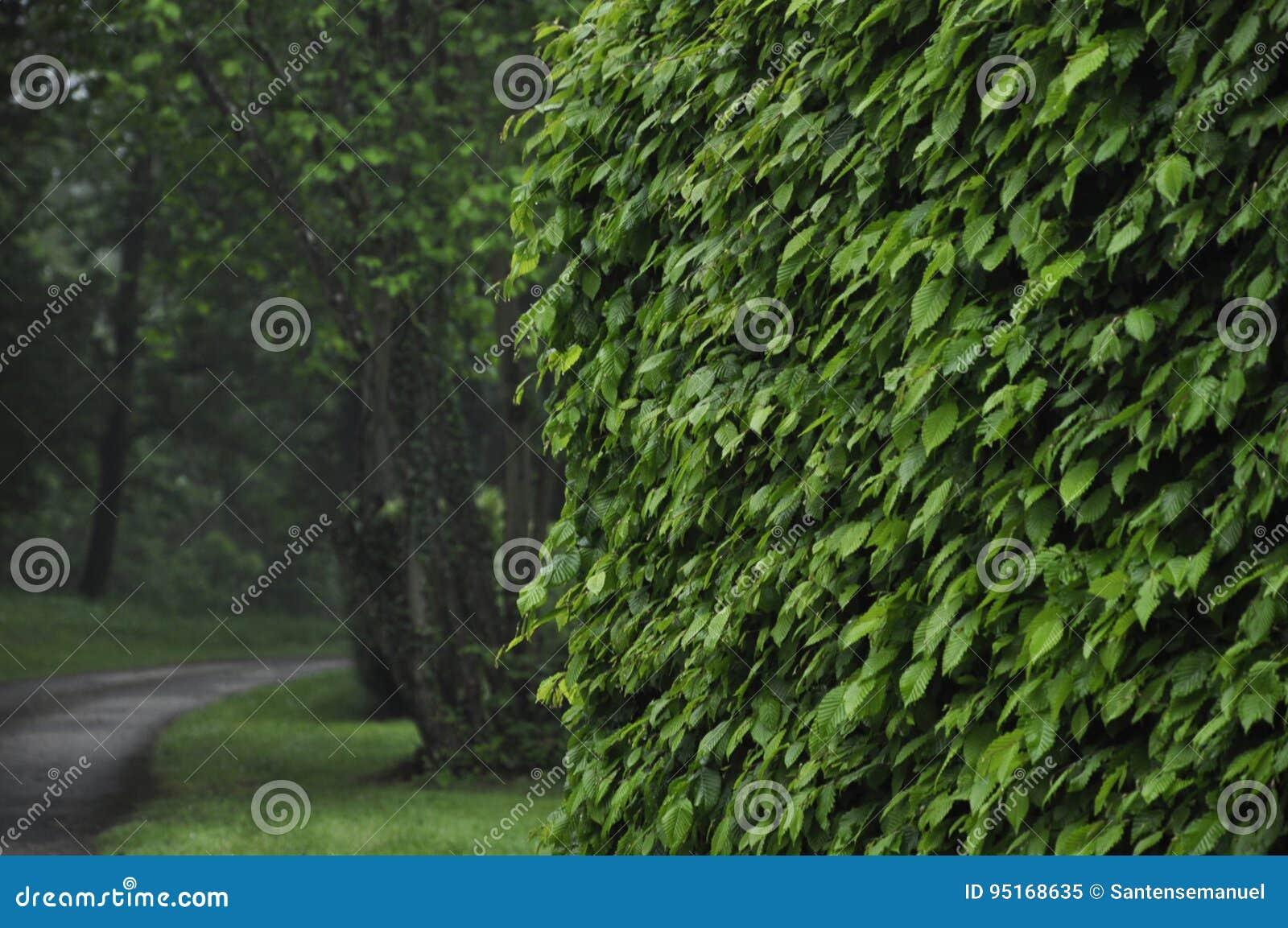 Bukowy żywopłot Obraz Stock Obraz Złożonej Z Nikt środowiskowy