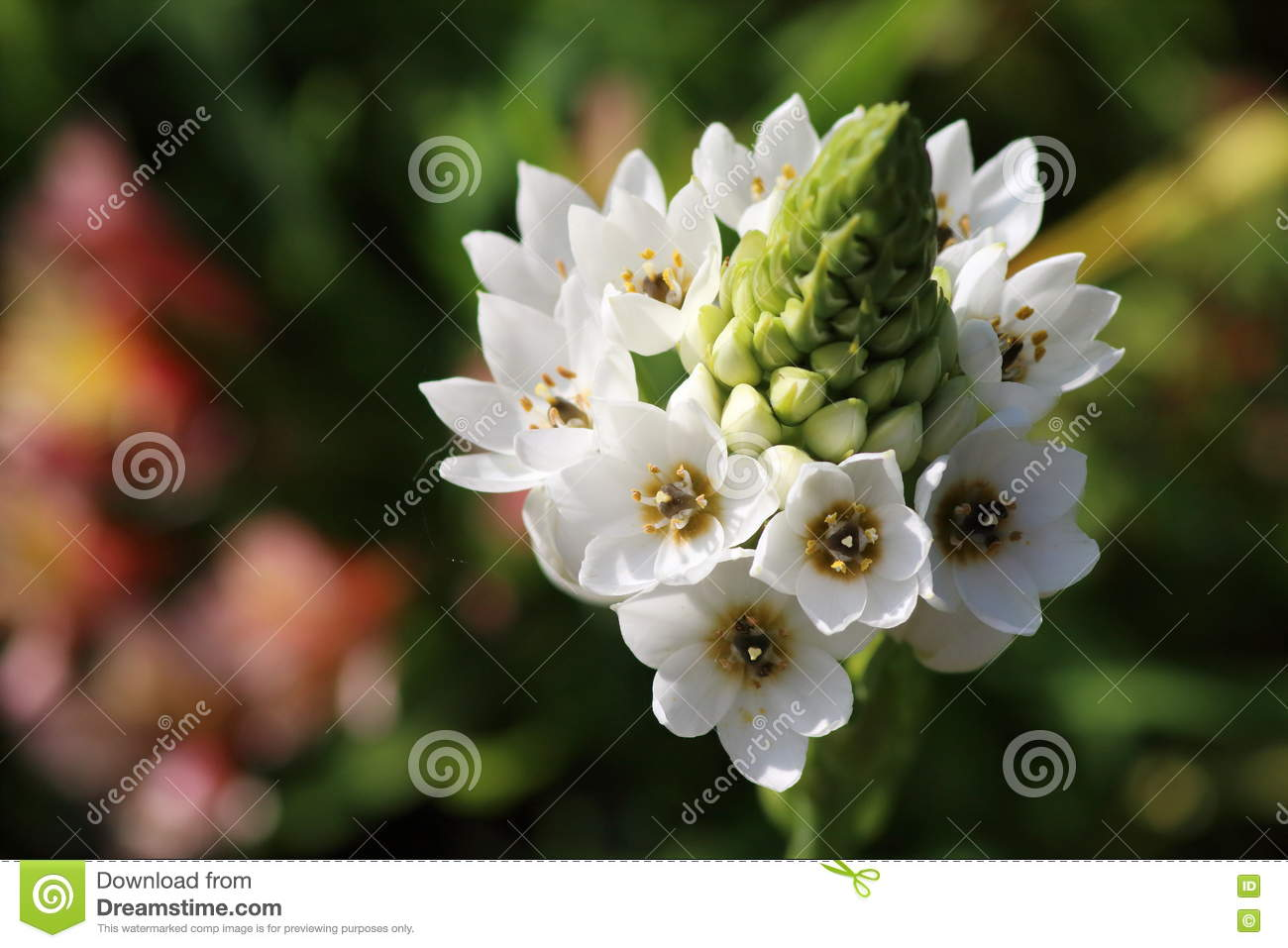 Bulb of white flowers stock photo image of beautiful 76518466 bulb of white flowers mightylinksfo