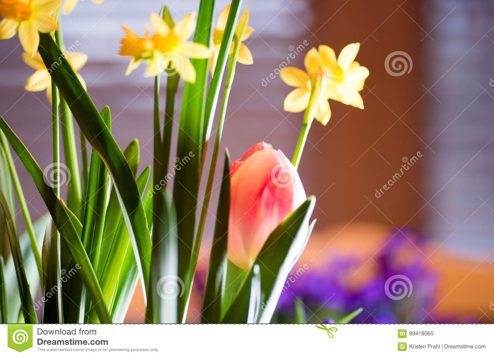 Bulbos coloridos bonitos da mola que florescem dentro na luz solar da manhã