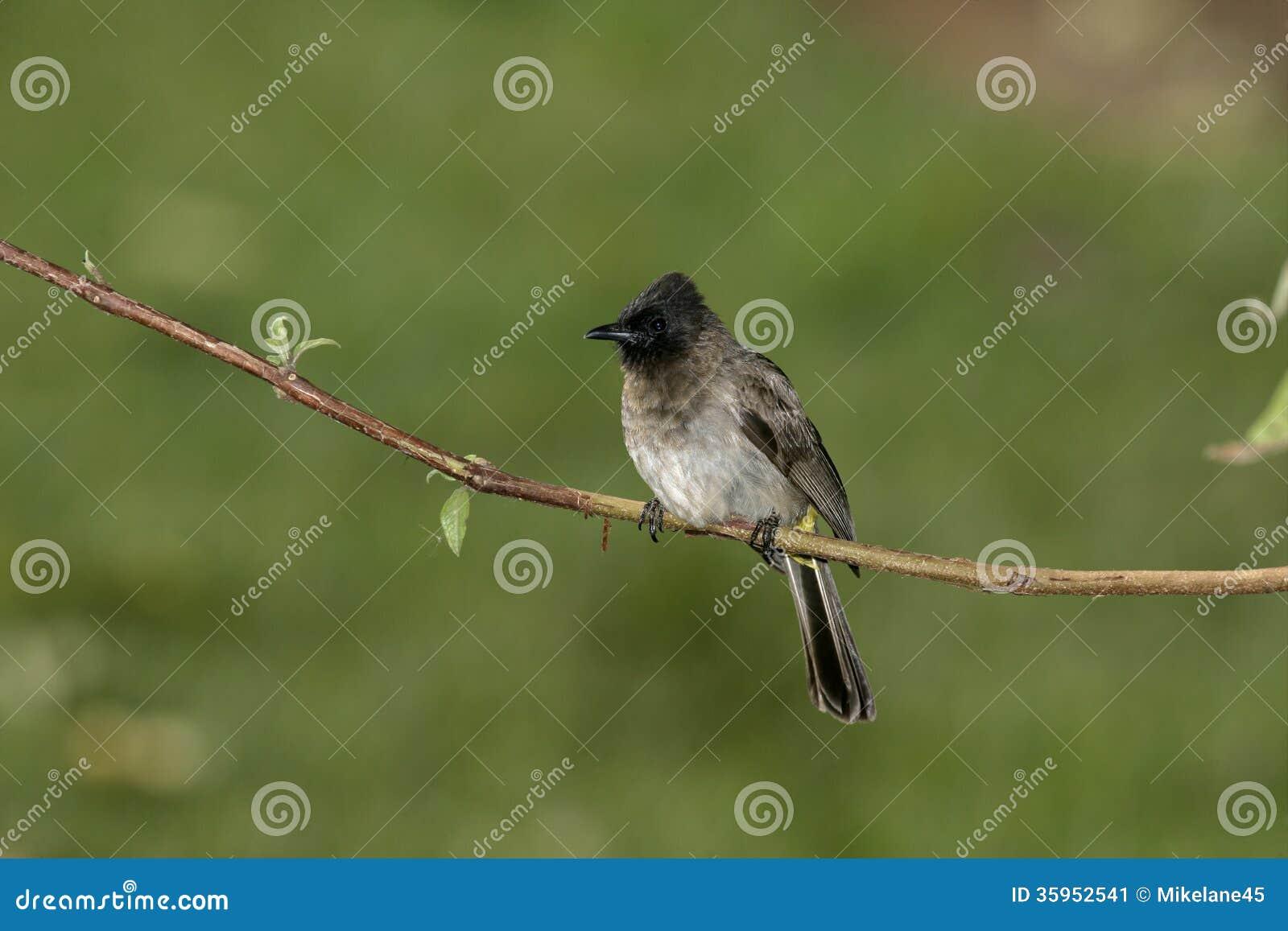 Bulbul Amarillo-expresado, Pycnonotus más goiavier