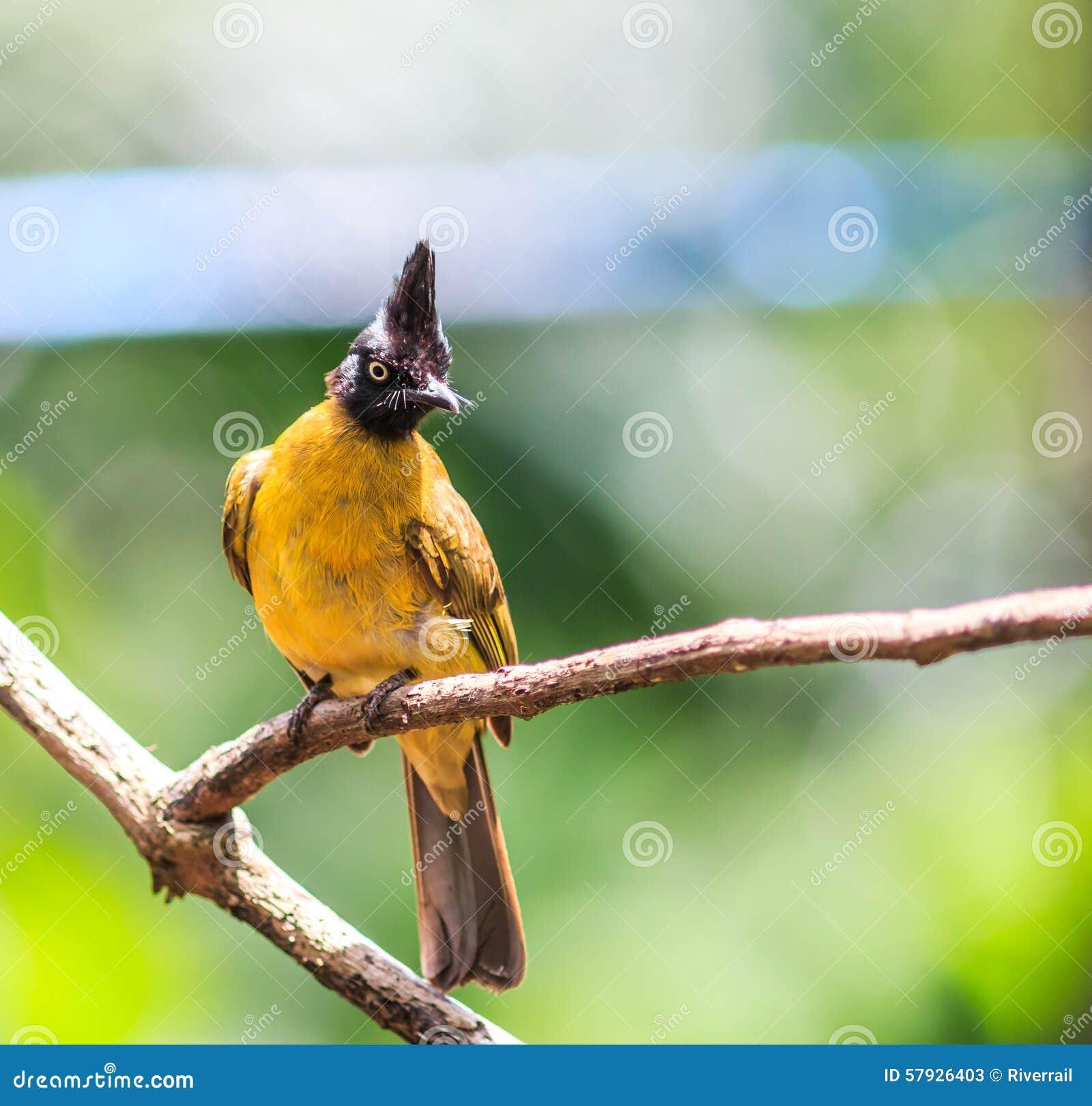 bulbul oder pycnonotus flaviventris schwarz mit haube vogel stockbild bild von hintergrund. Black Bedroom Furniture Sets. Home Design Ideas