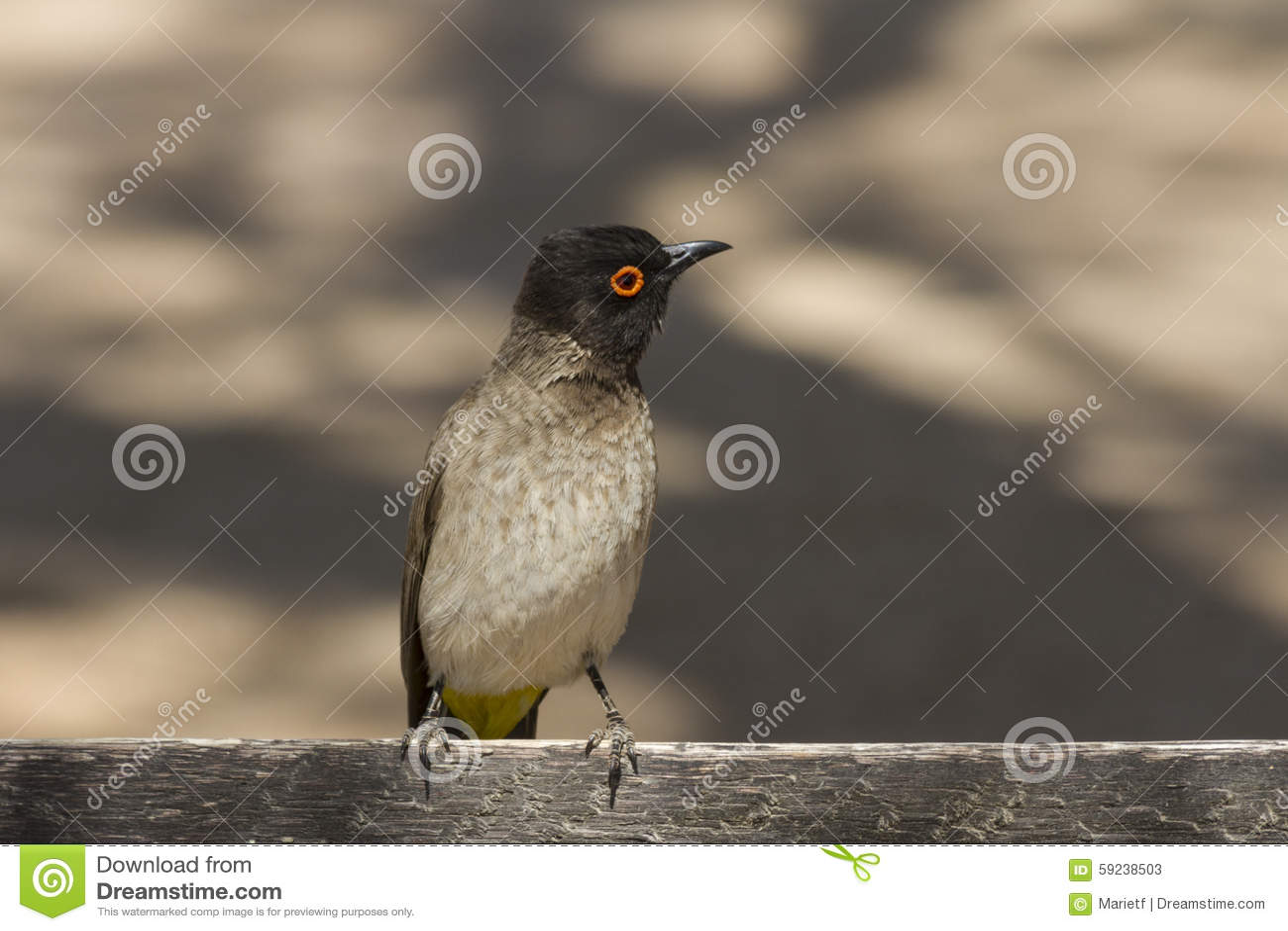 Bulbul Red-eyed africano