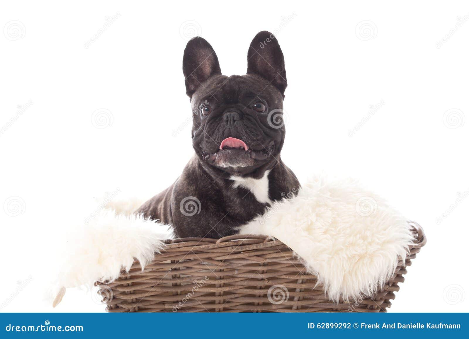 Buldog de Franse em uma cesta