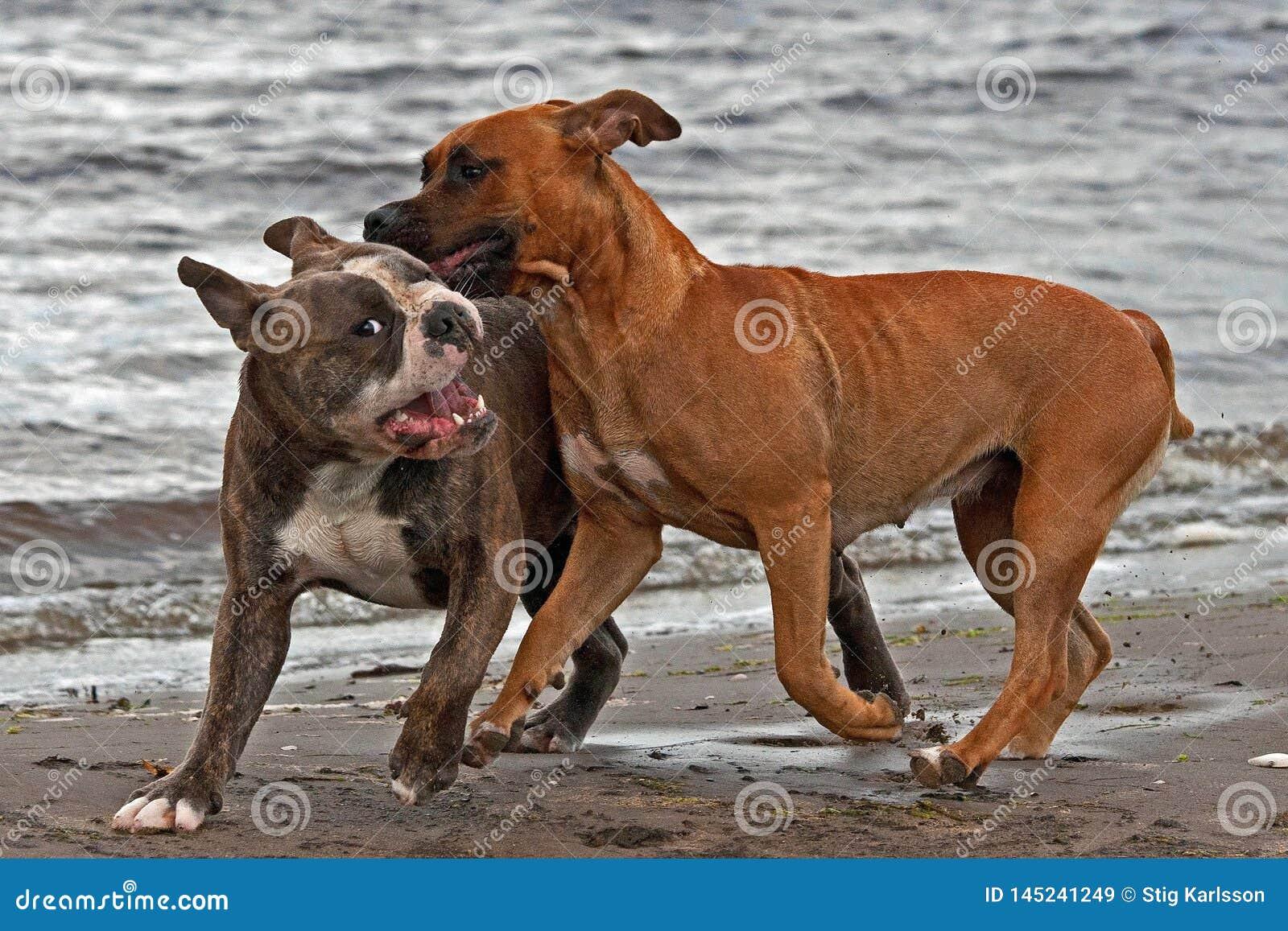 Buldog i Amerykańskiego Staffordshire terier bawić się na plaży