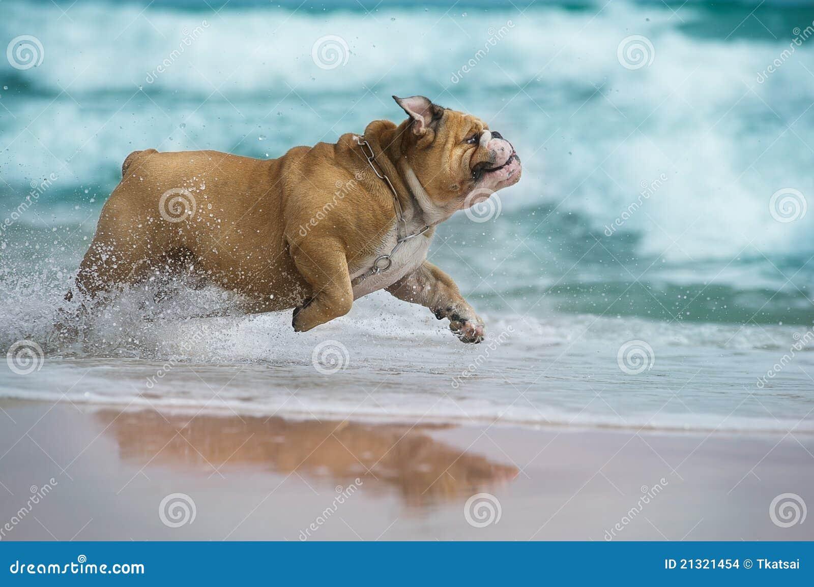 Buldoga morze psi szczęśliwy działający