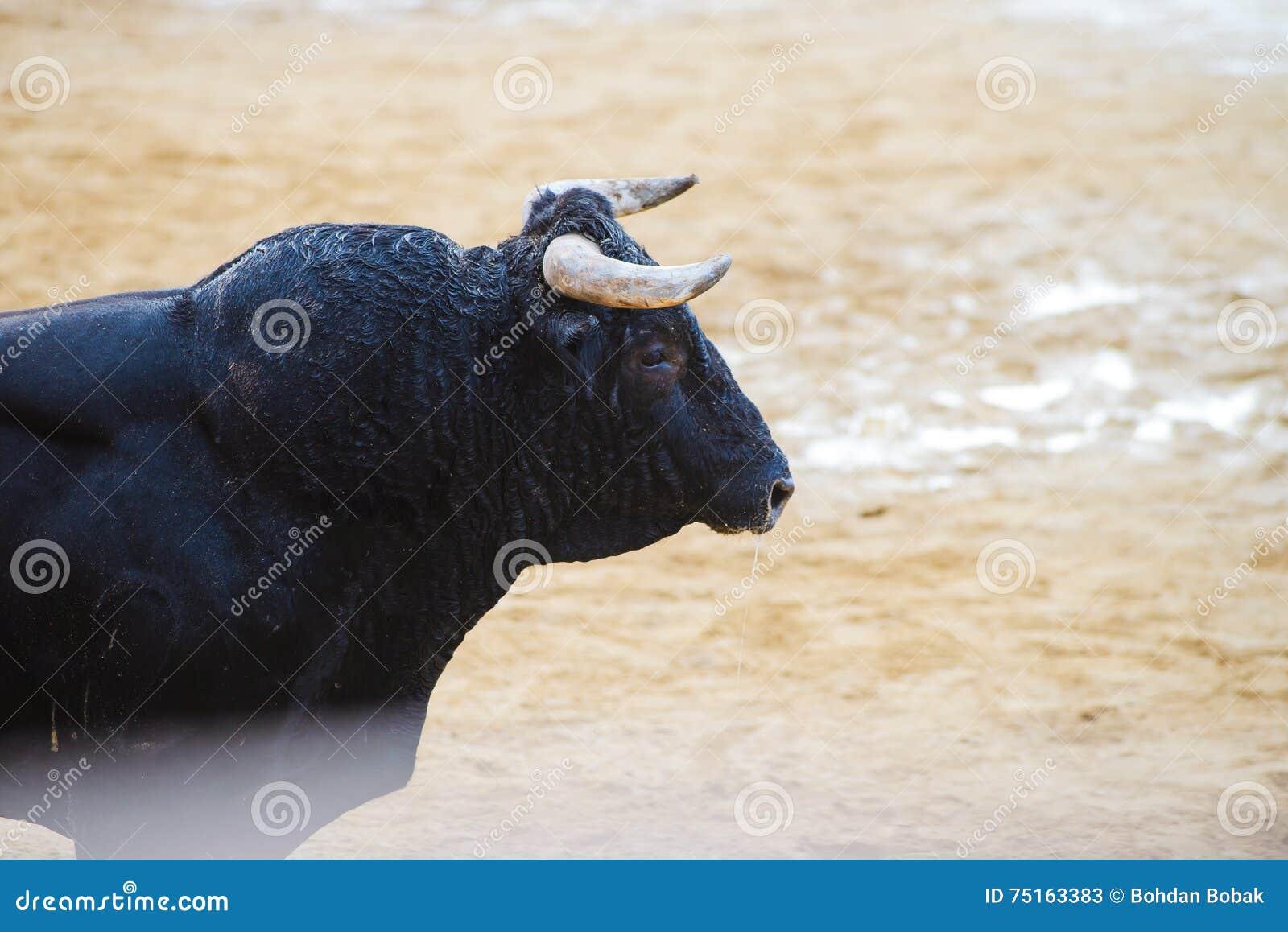 Bull από οι γενναίοι νεαροί άνδρες που πειράζει στο χώρο μετά από τους τρέχω-με-ο-ταύρους στις οδούς Denia, Ισπανία