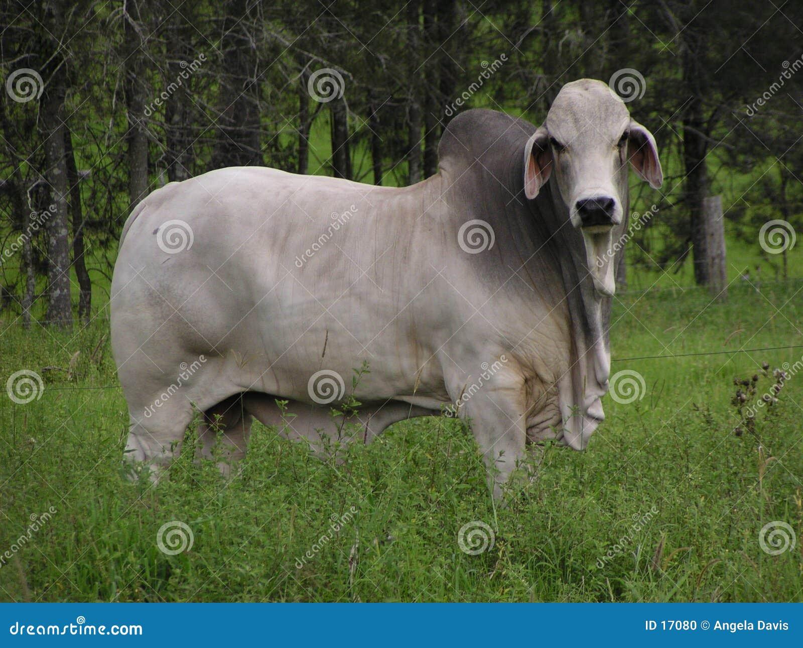 Bull auf einem Gebiet