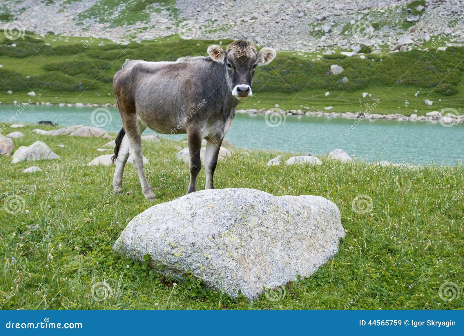 Bull-calfe no pasto