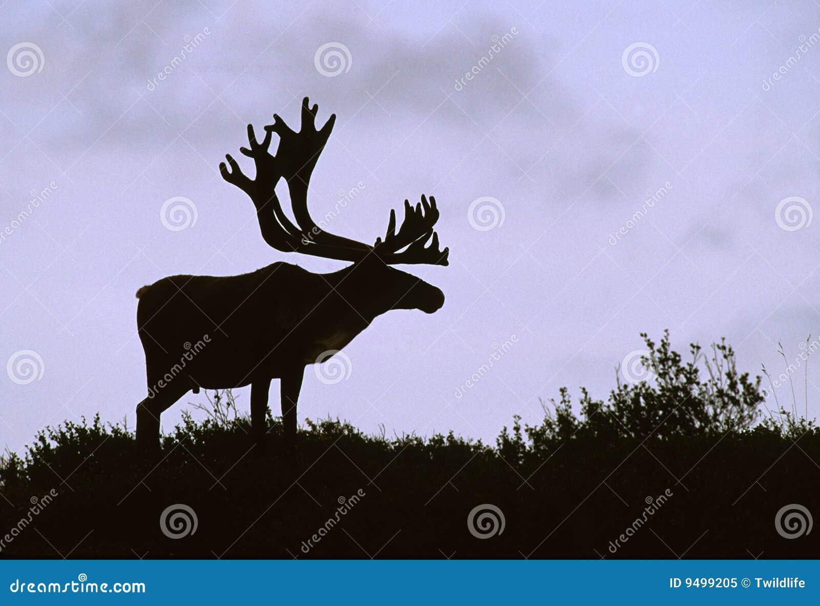 Bull Caribou Silhouette