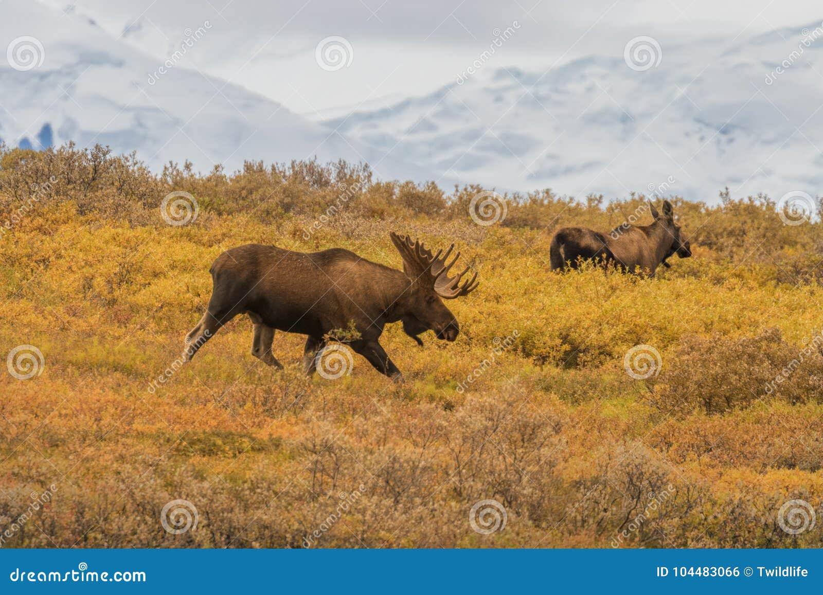 Bull and Cow Alaska Yukon Moose